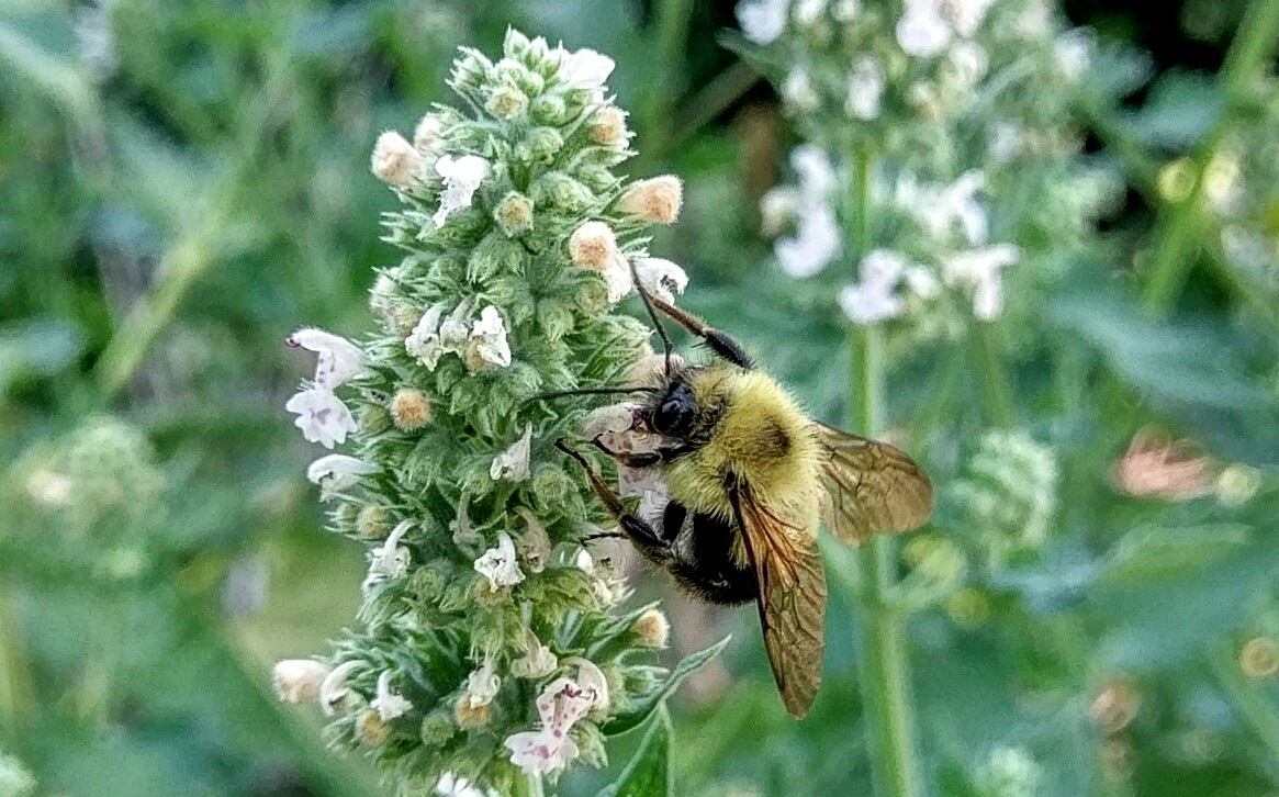 Bumble Bee via Cellphone  by James R McWilliams