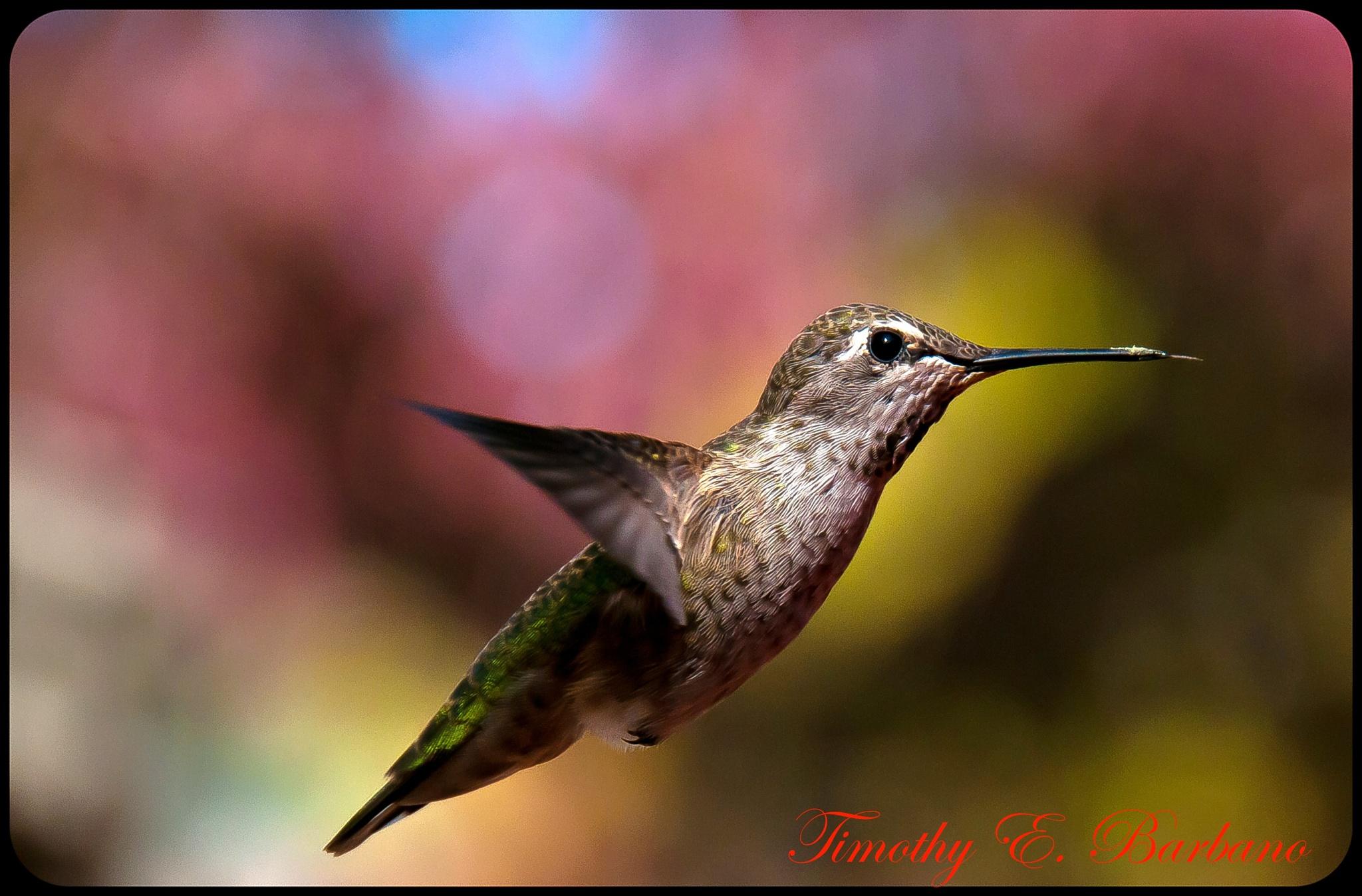 """""""Anna's Hummingbird""""  by  T. E. Barbano"""