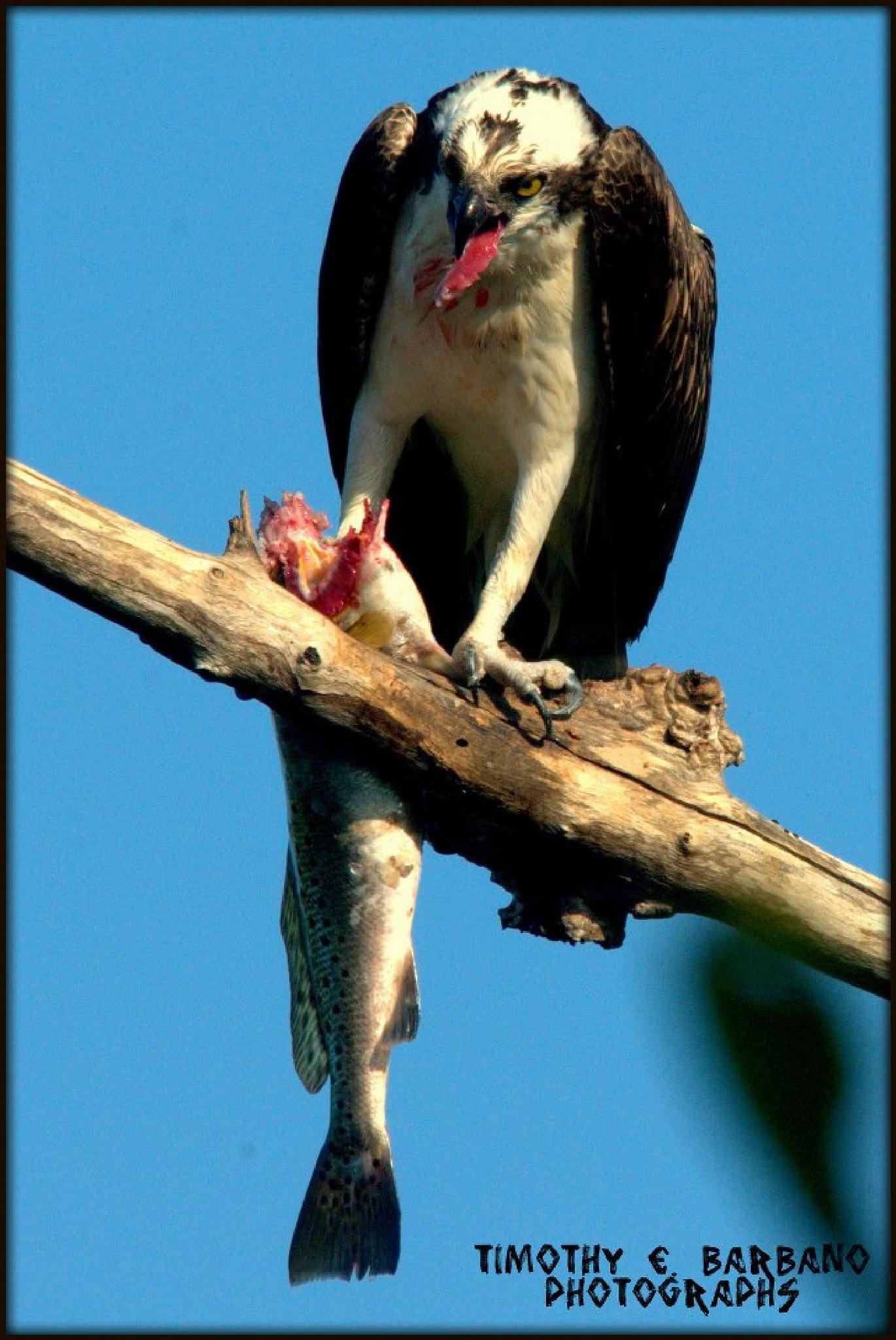 osprey (Pandion haliaetus) by  T. E. Barbano