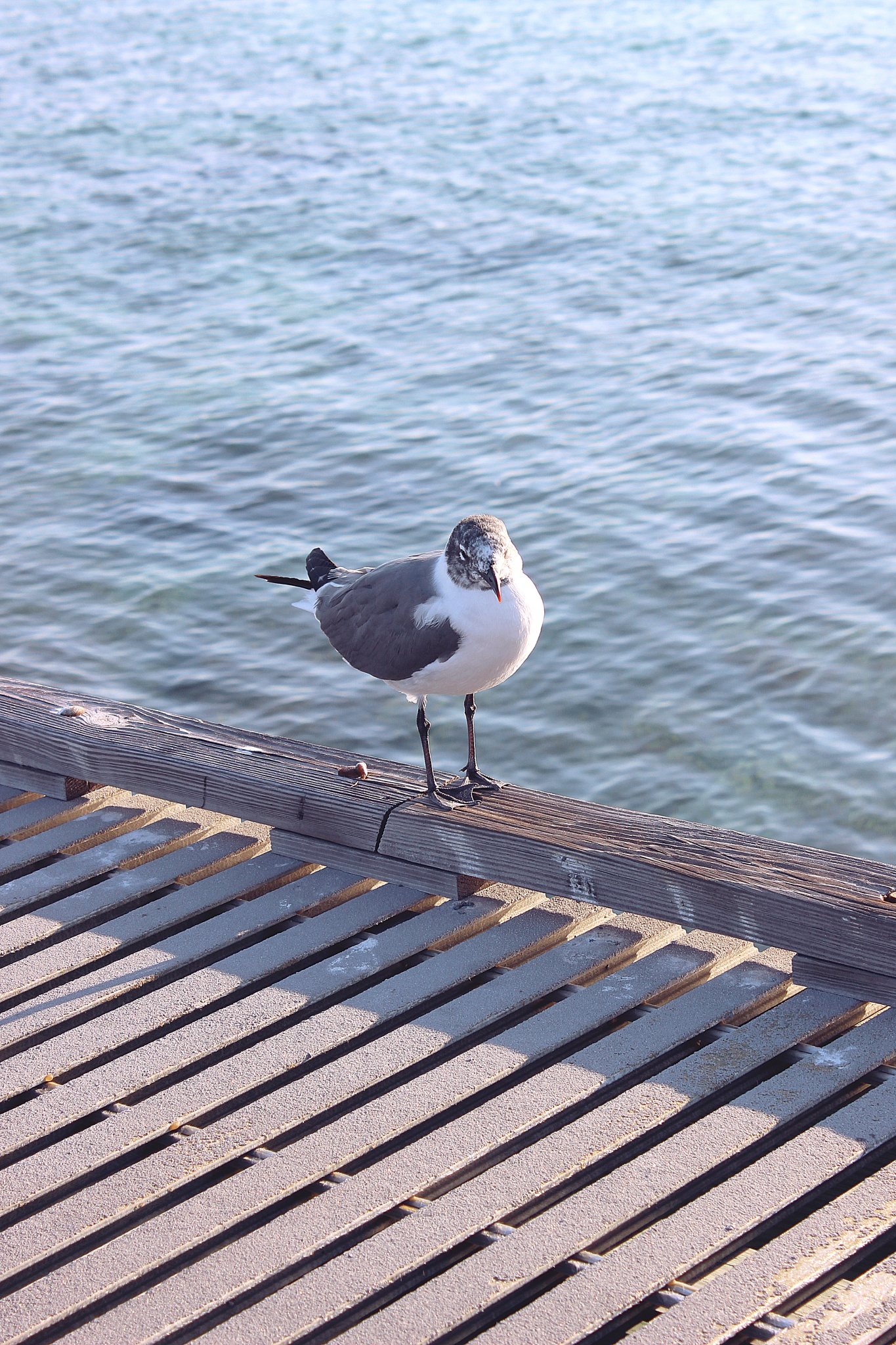 Seagull by DayronV