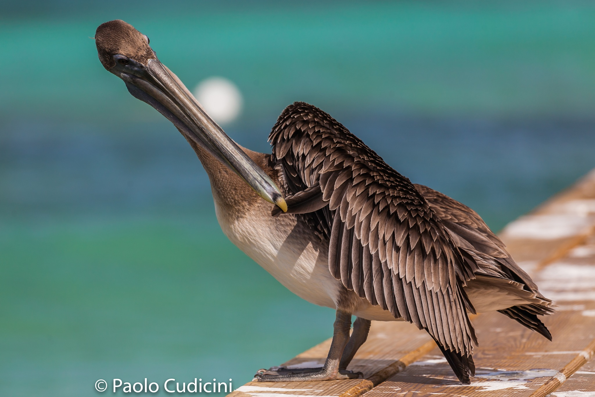 The perfect plumage by Paolo Cudicini