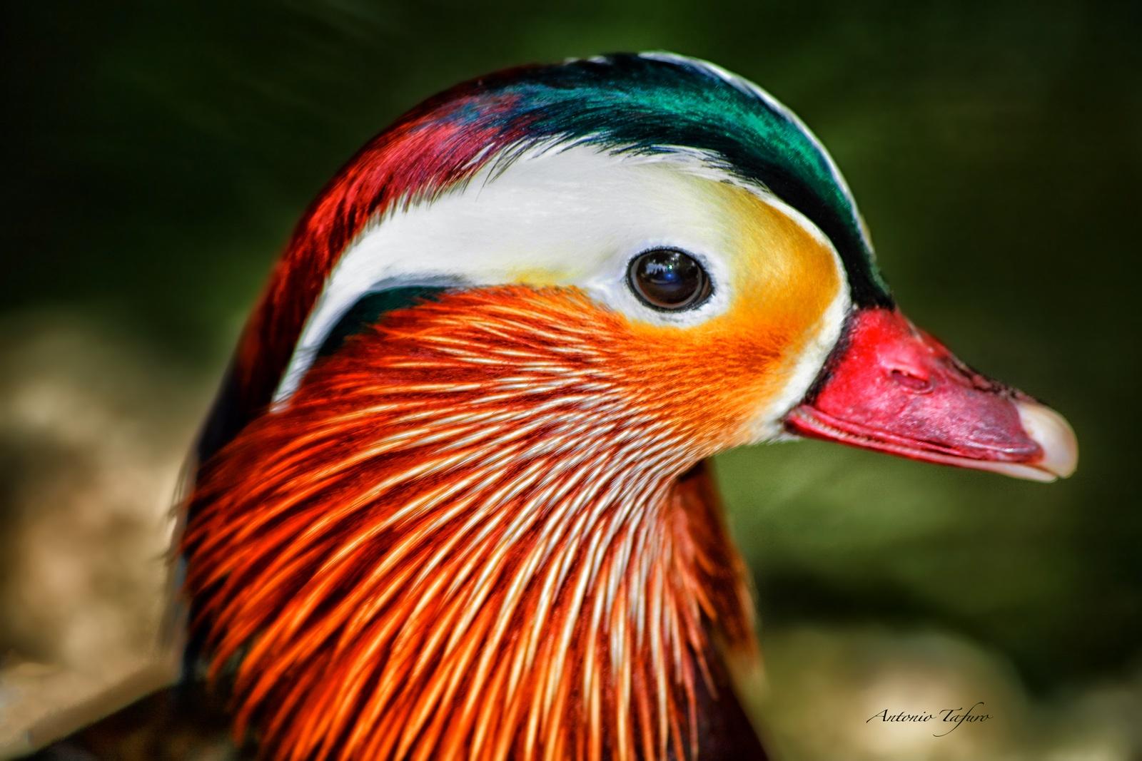 mandarin duck by Antonio Tafuro