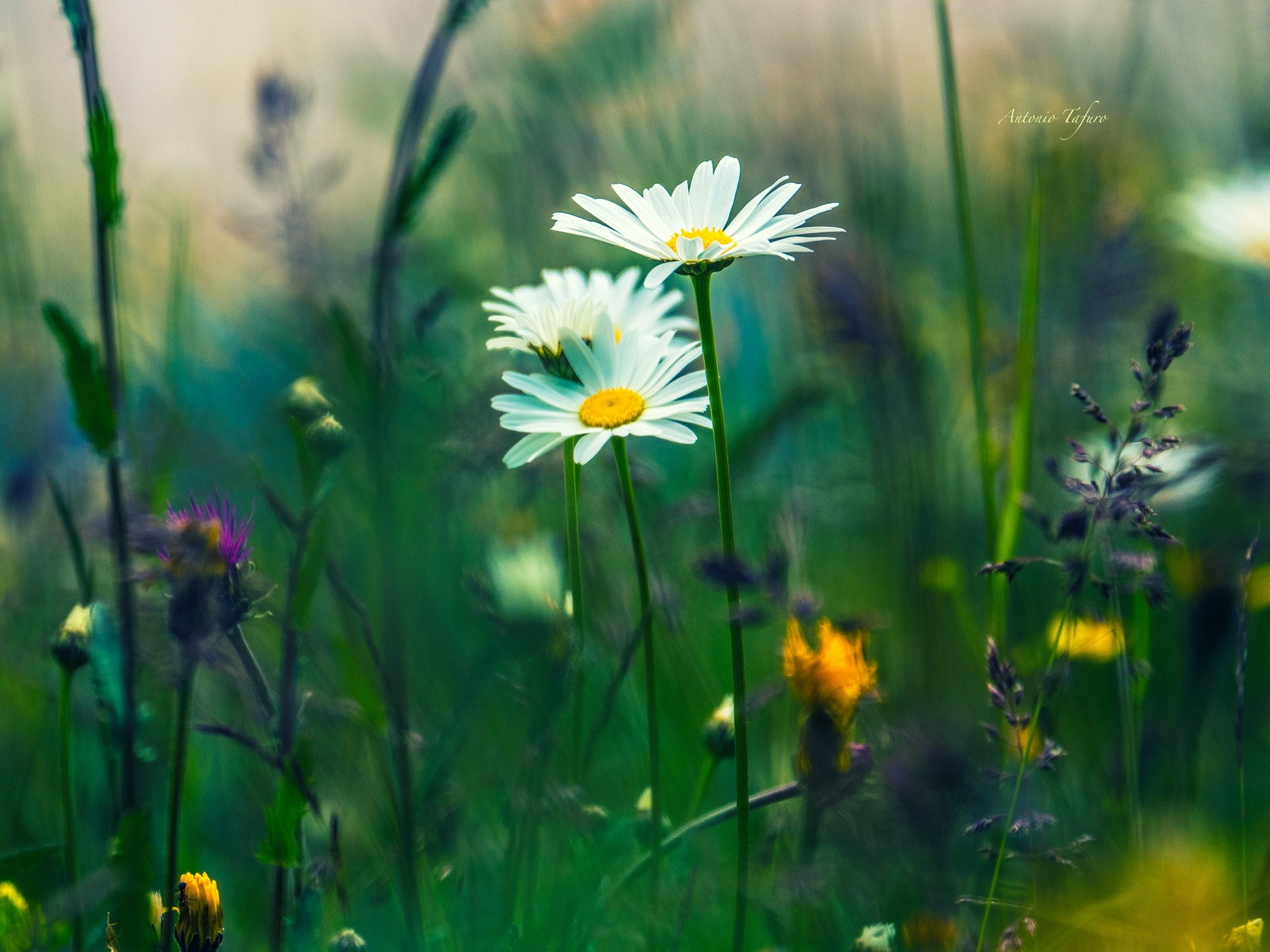wildflowers by Antonio Tafuro