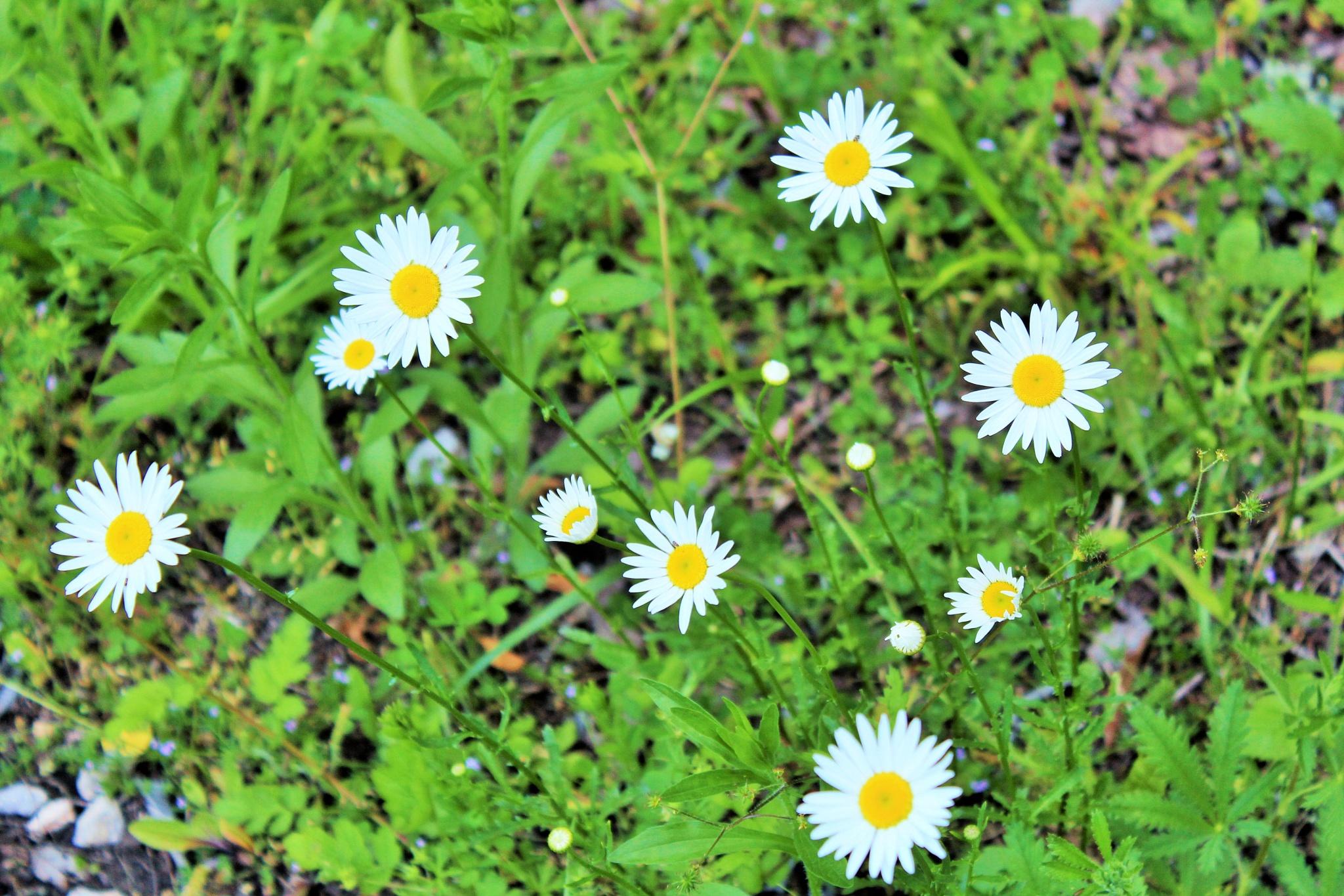 daisy do daisy does by Kathymac