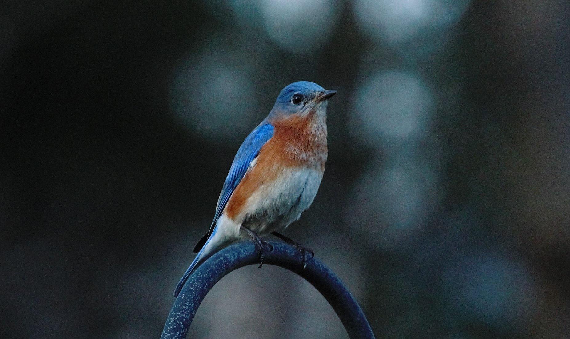 Photo in Animal #bird #bluebird #birdblue