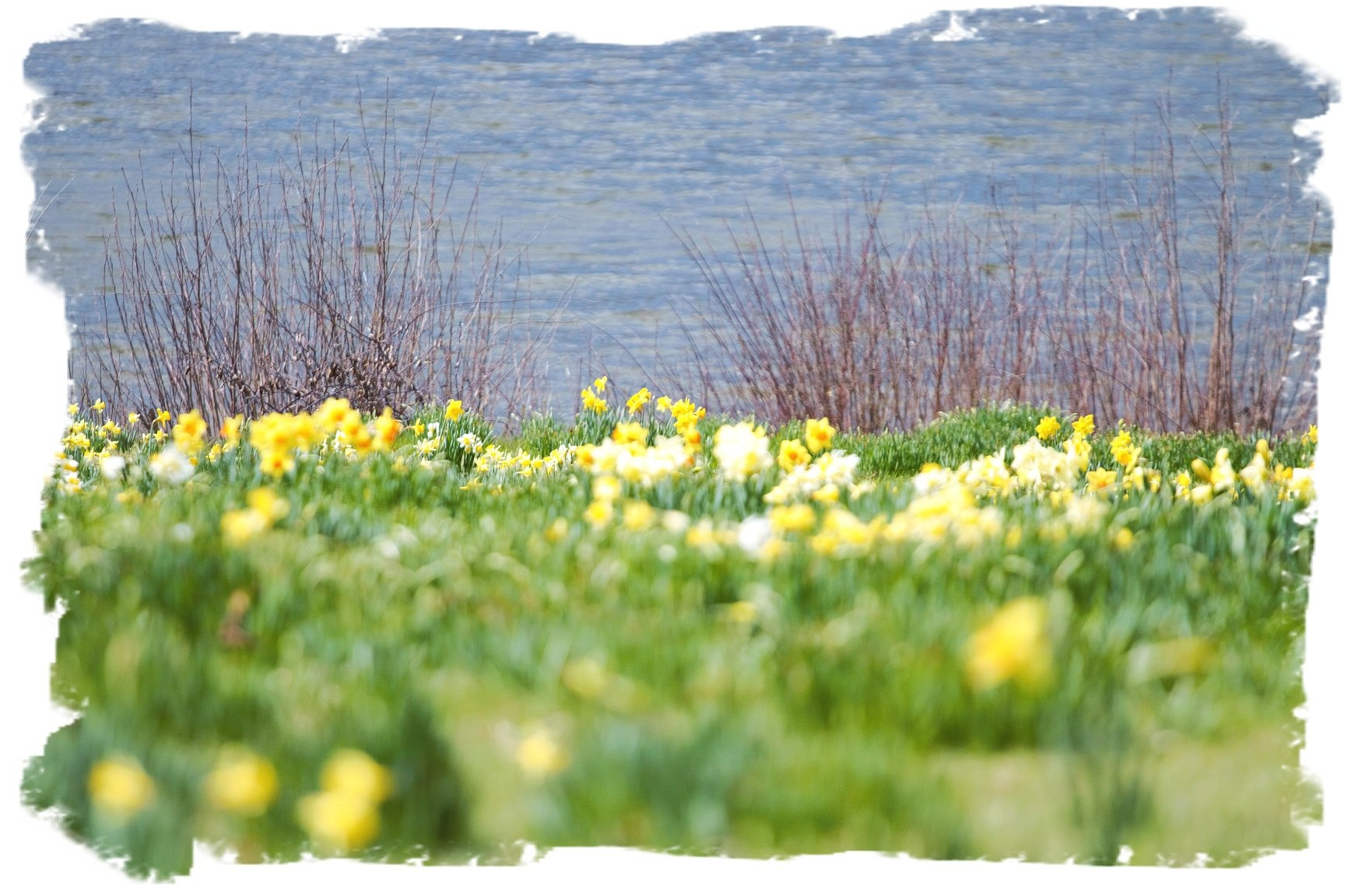 Daffodil Meadow by Claudia Hirschochs