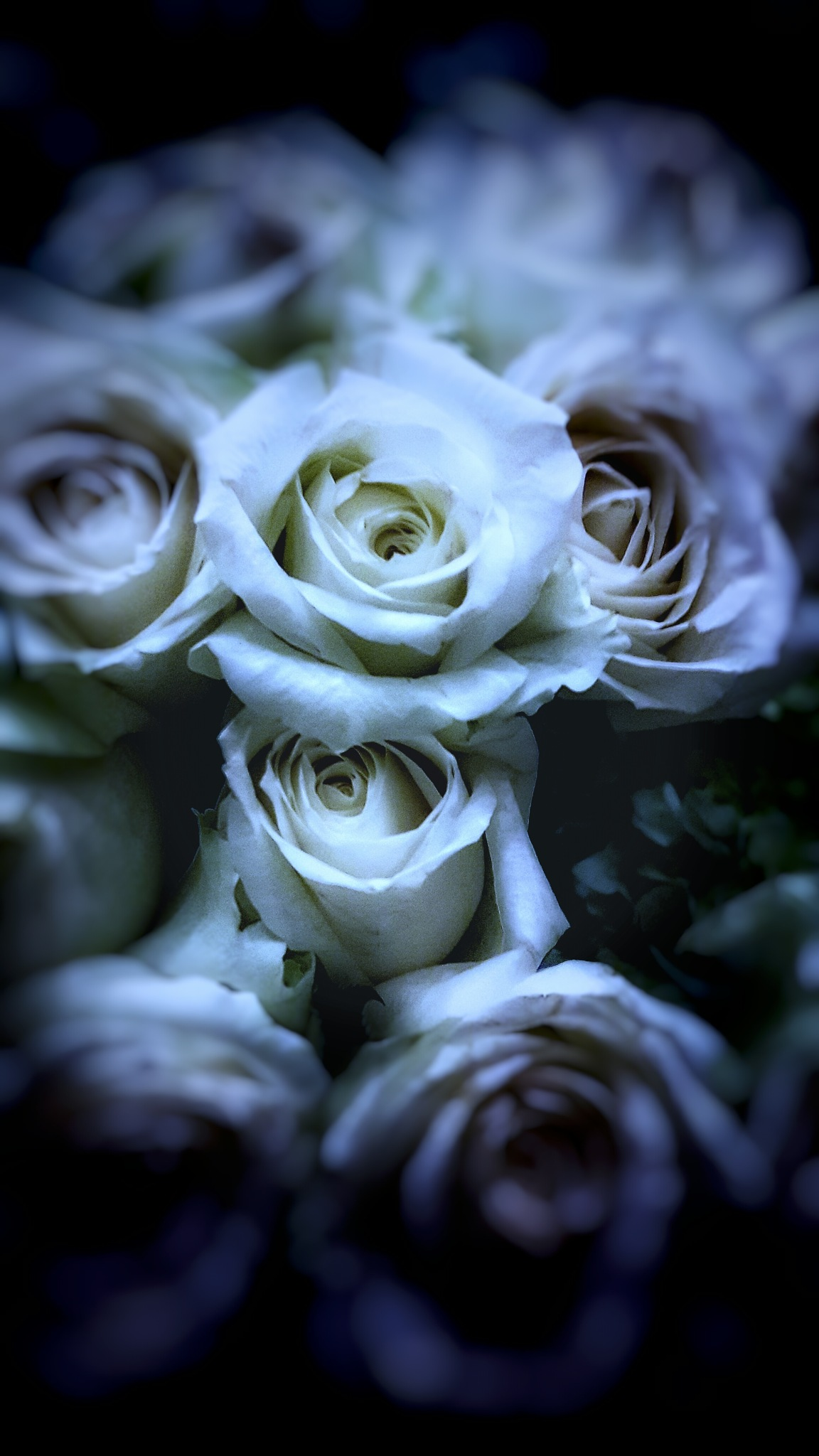 white roses by Mutiara