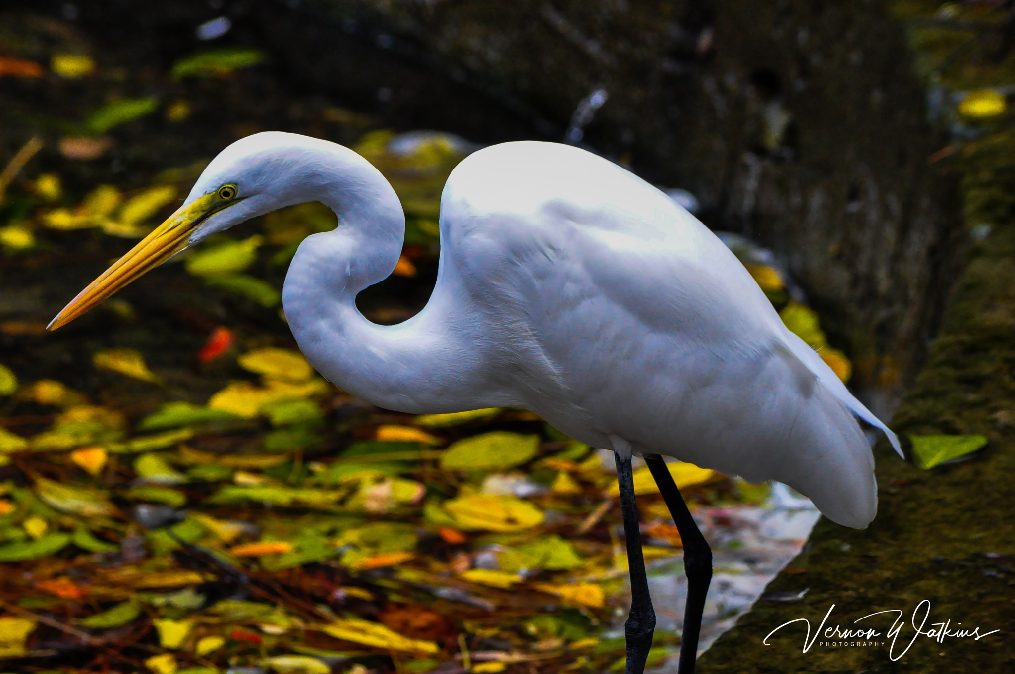 Great White Egret by HMFIC Photography