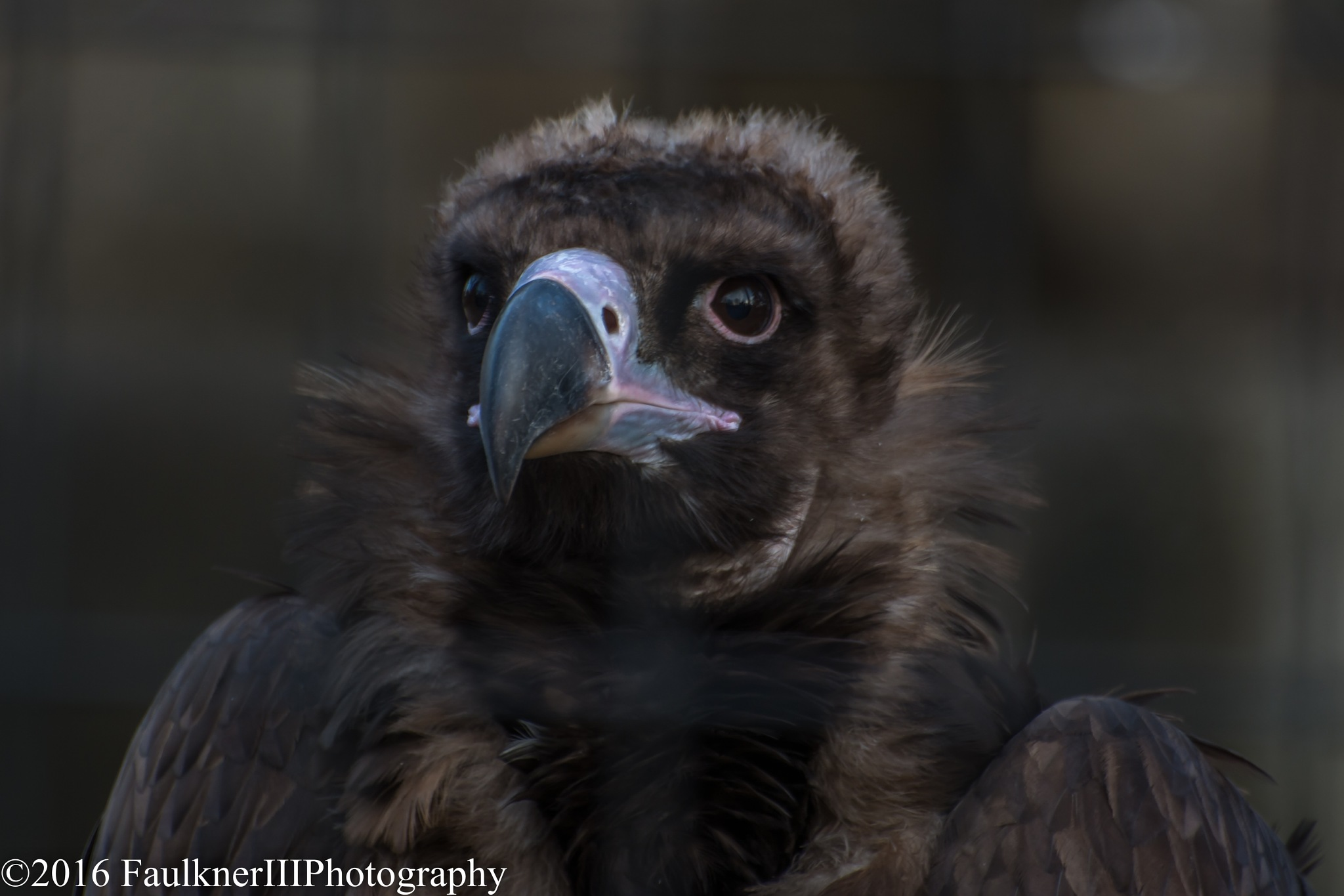 Cinereous Vulture by Frederick Faulkner III