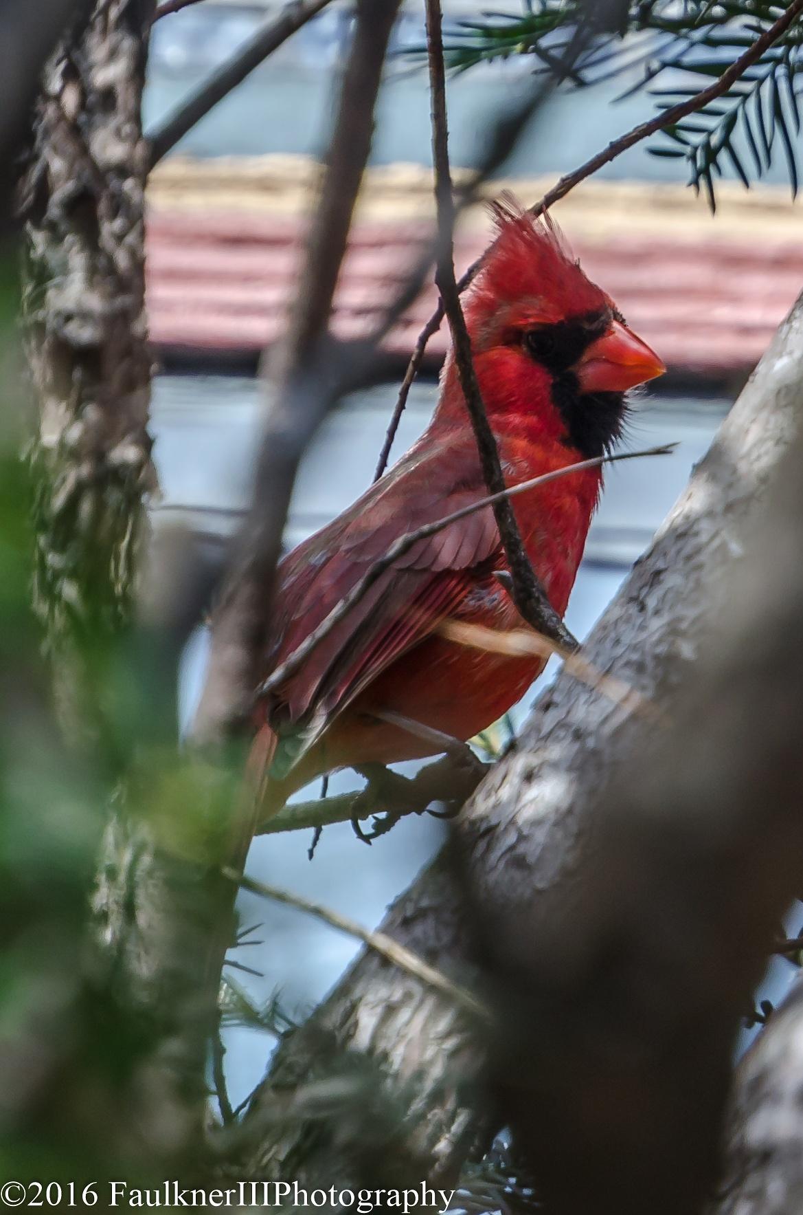 cardinal by Frederick Faulkner III