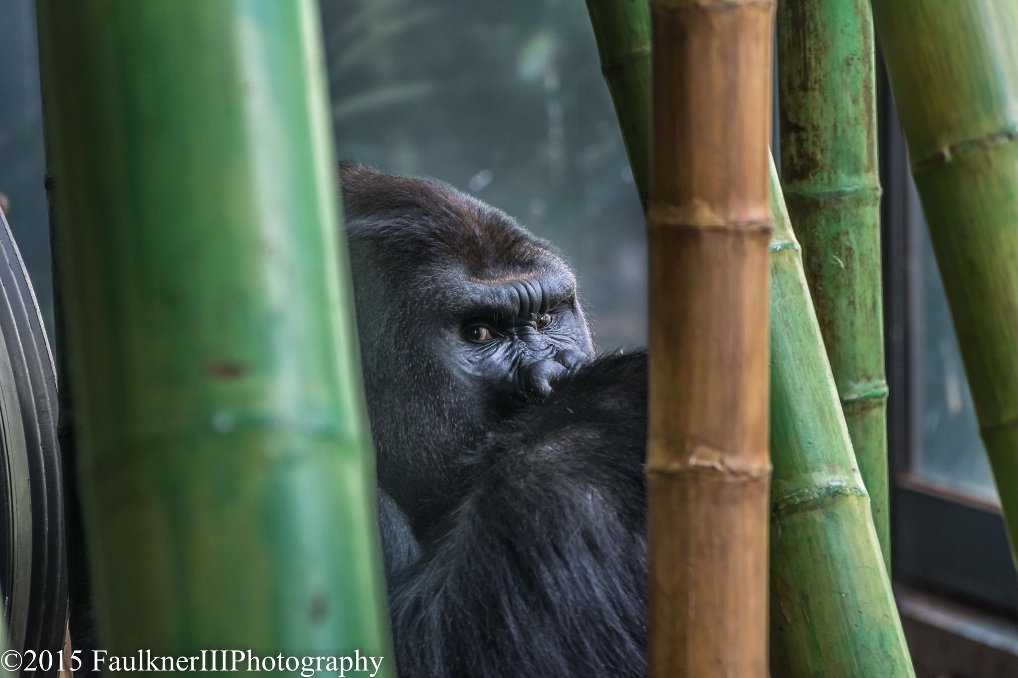 gorilla-1 by Frederick Faulkner III