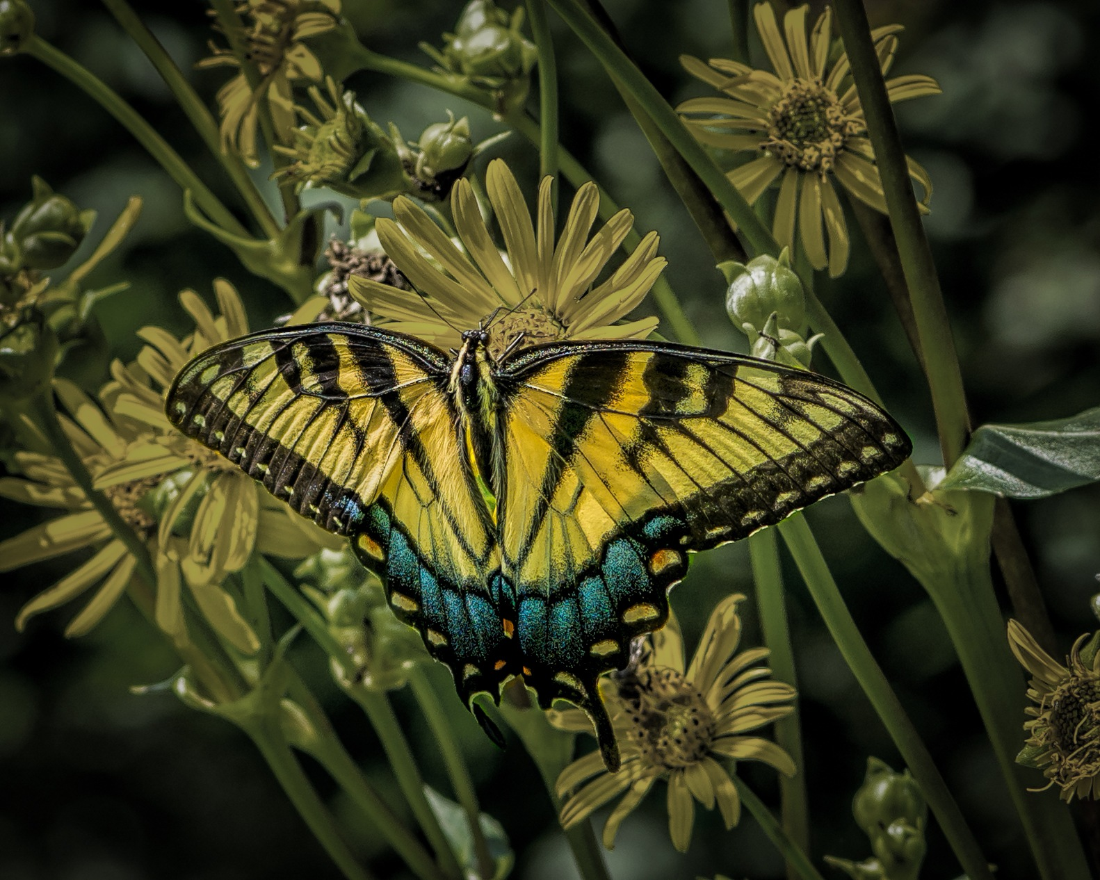 Eastern Tiger Swallowtail by Frederick Faulkner III