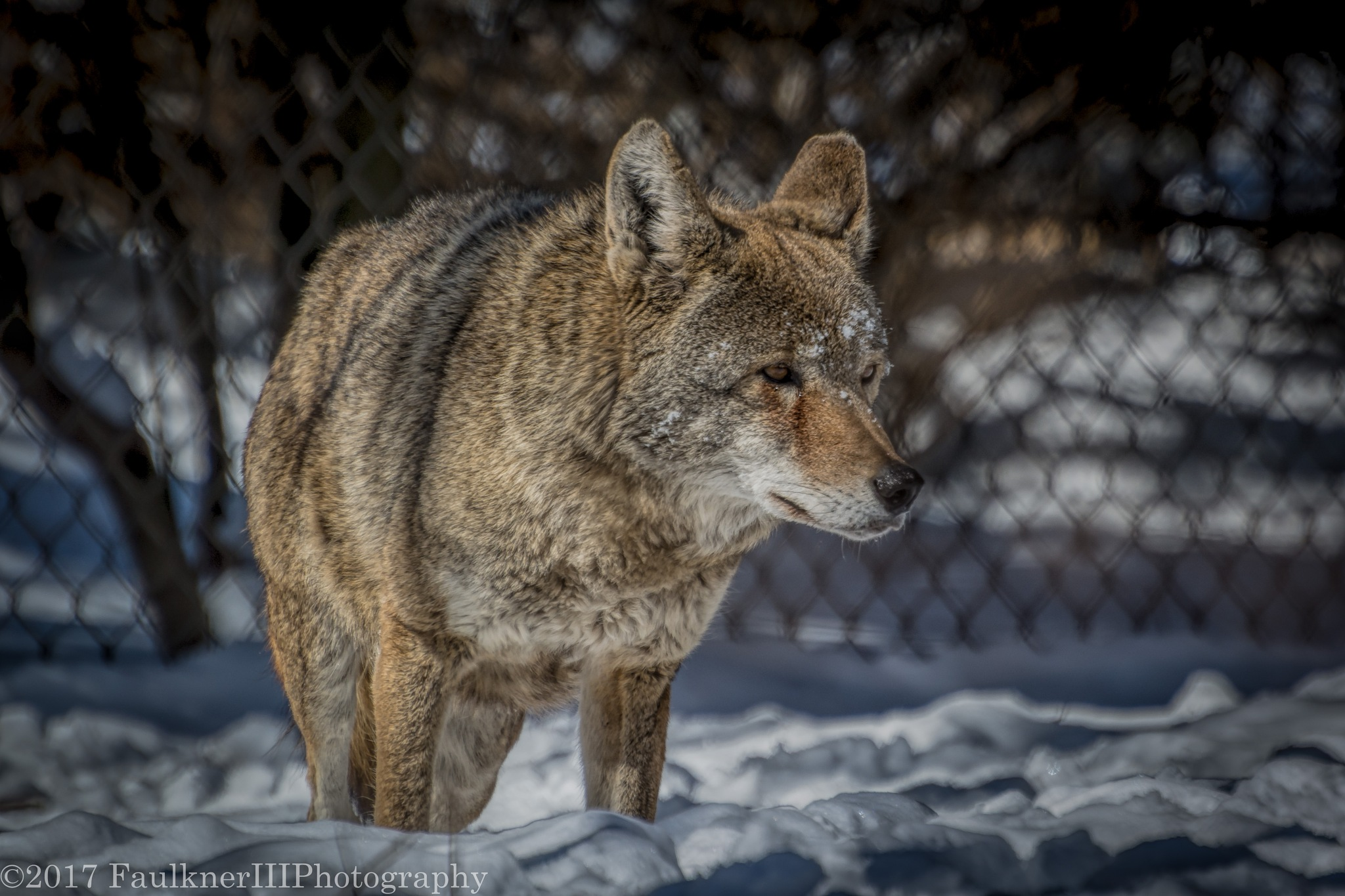 red wolf by Frederick Faulkner III