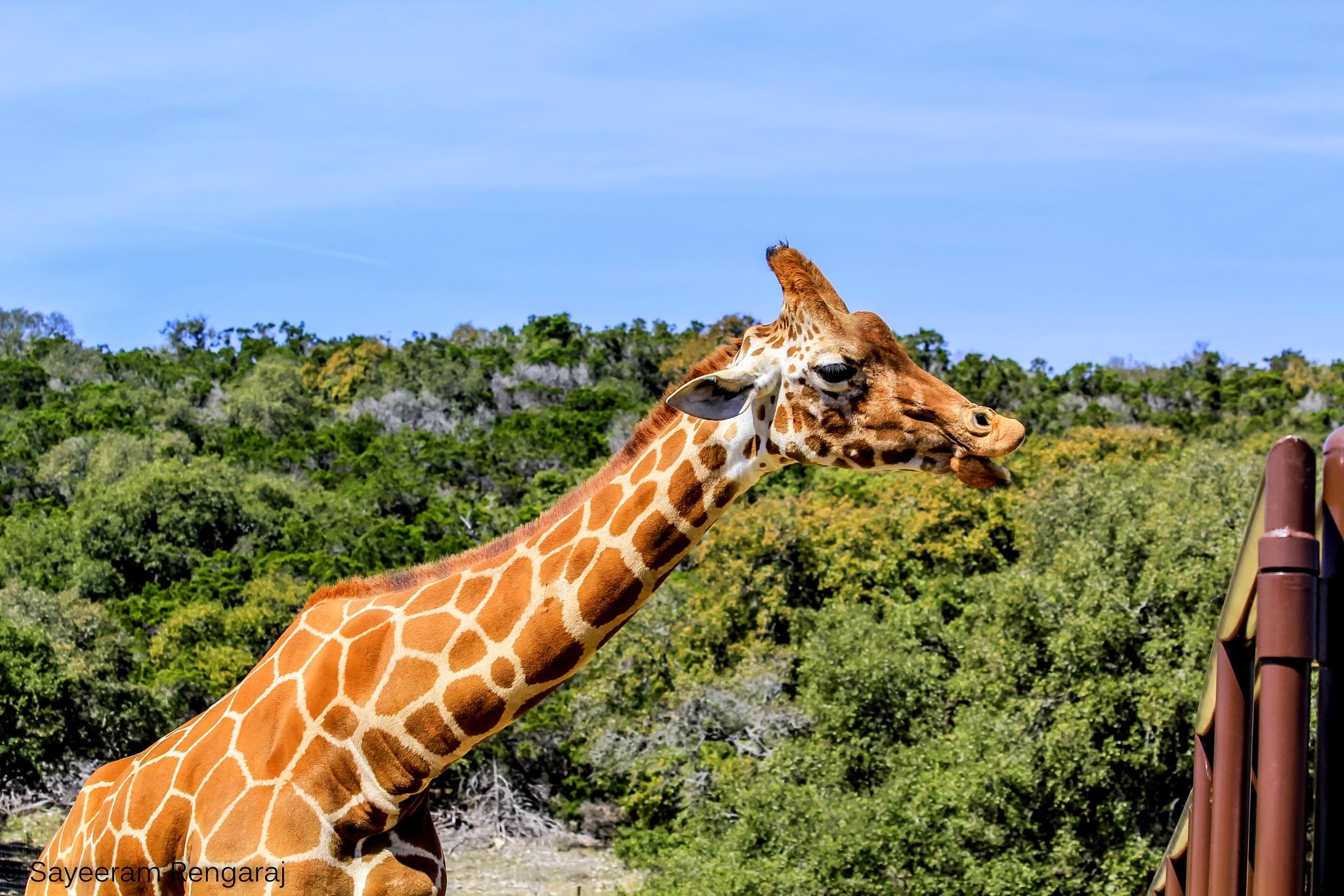 Photo in Animal #wildlife #animal #nature #giraffe
