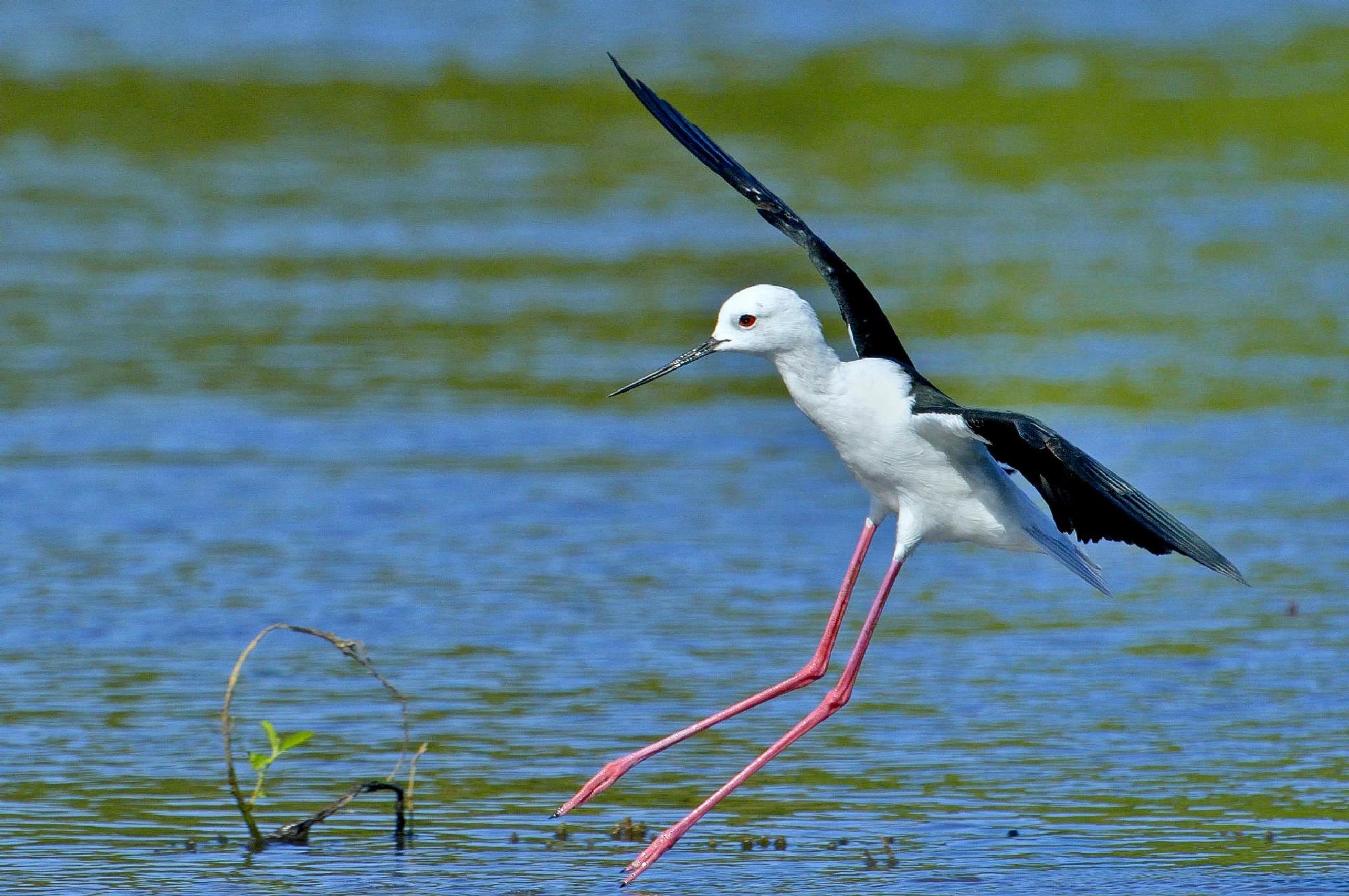 Black-winged Stilt by Sayeeram Rengaraj