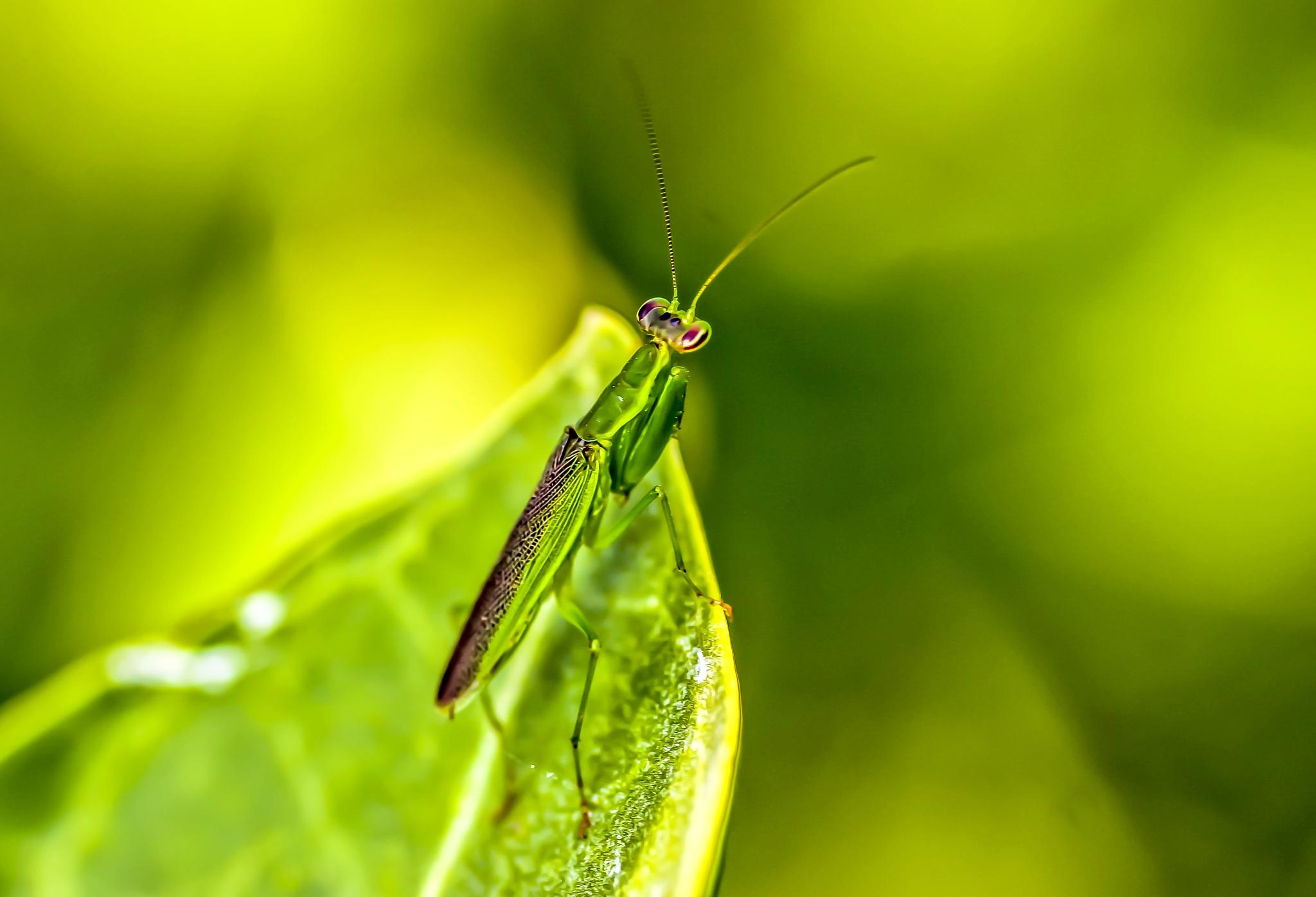 Mantis by Sayeeram Rengaraj
