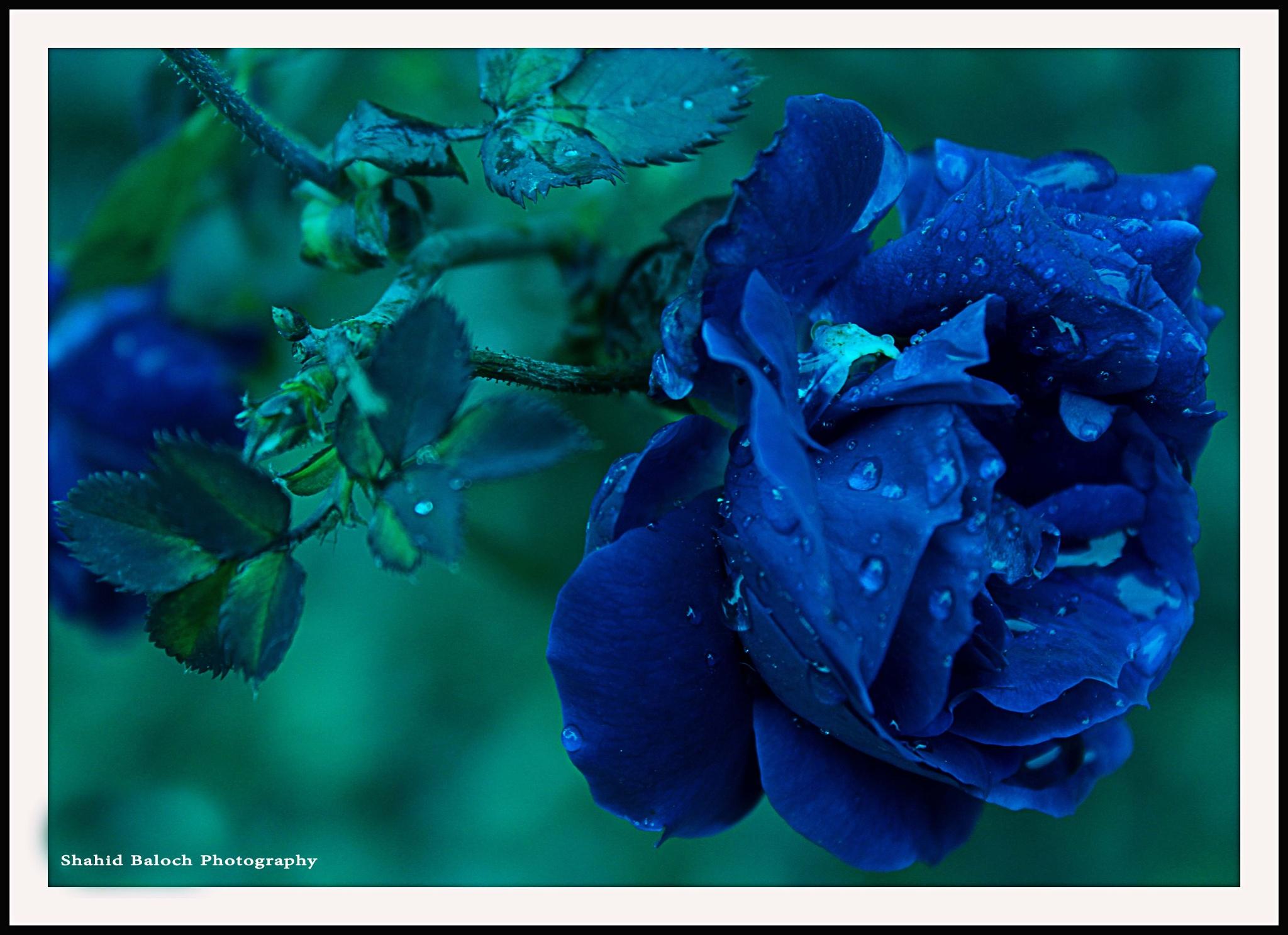 Blue Rose by ShahidBaloch
