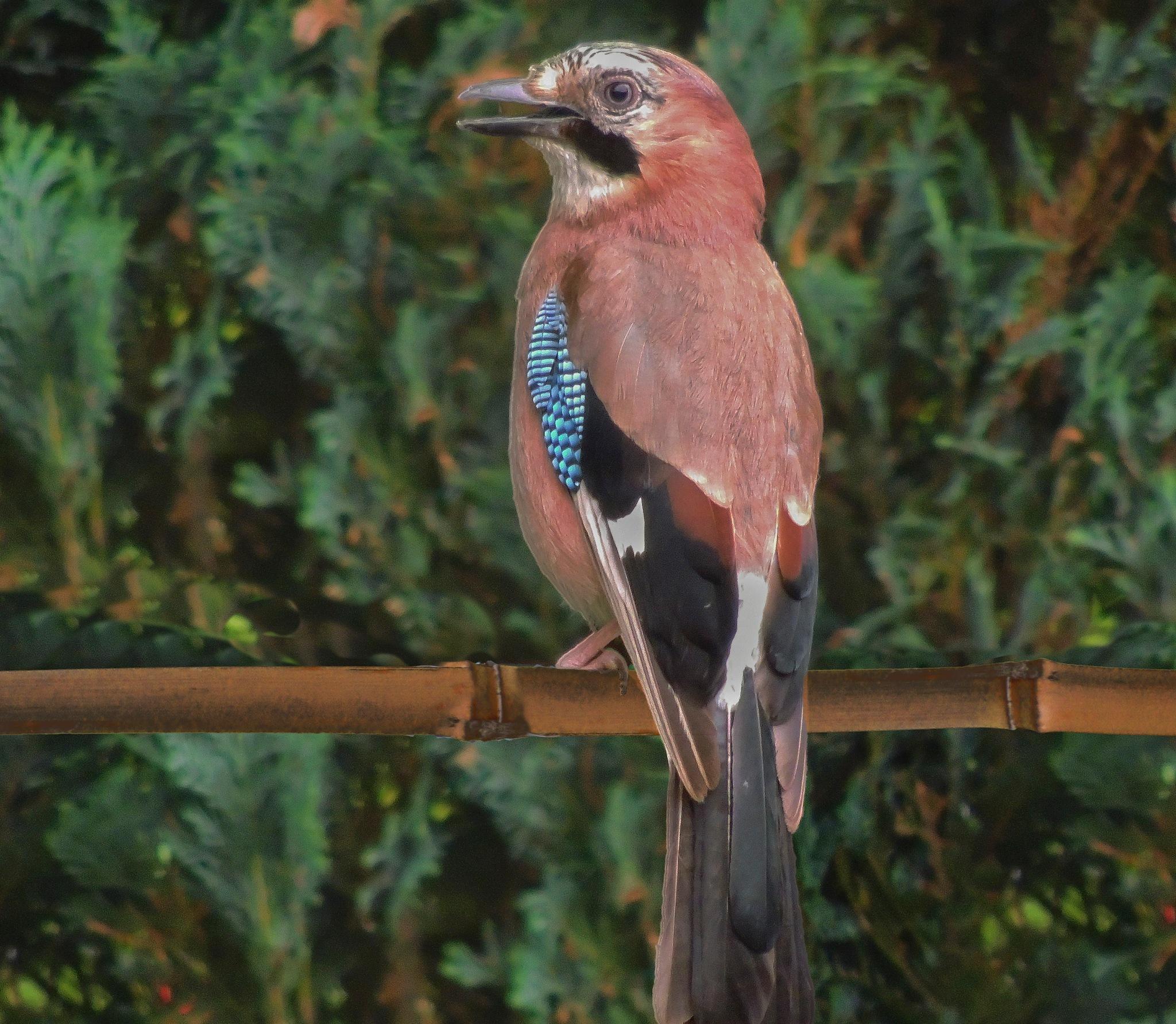 Jaybird on the watch by ghislain vancampenhoudt