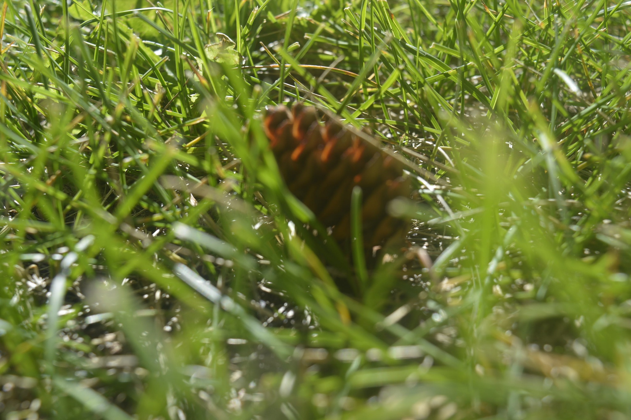 Pinecone In The Grass by Amanda Molly