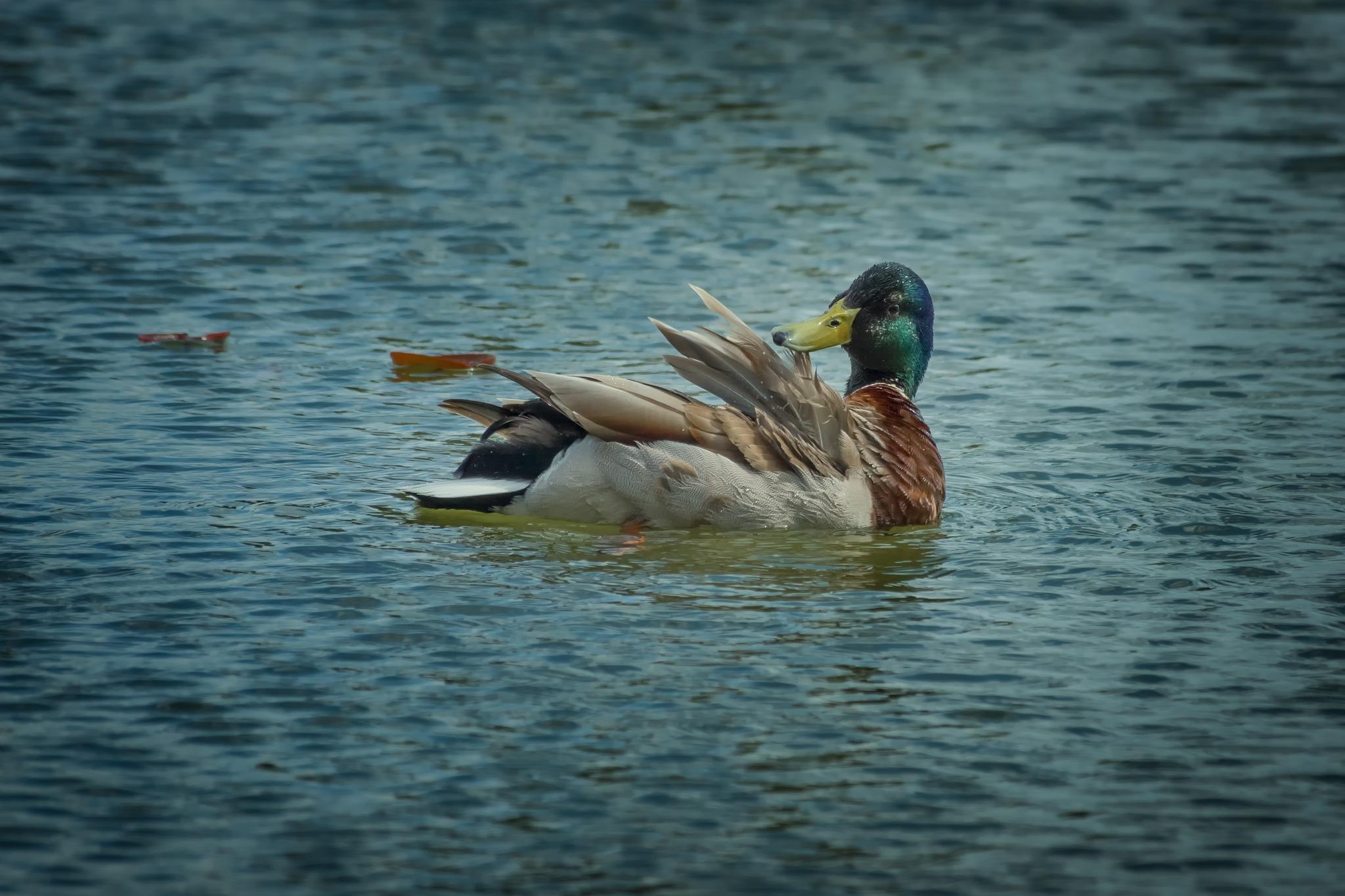 Mr. Duck by adi_fire