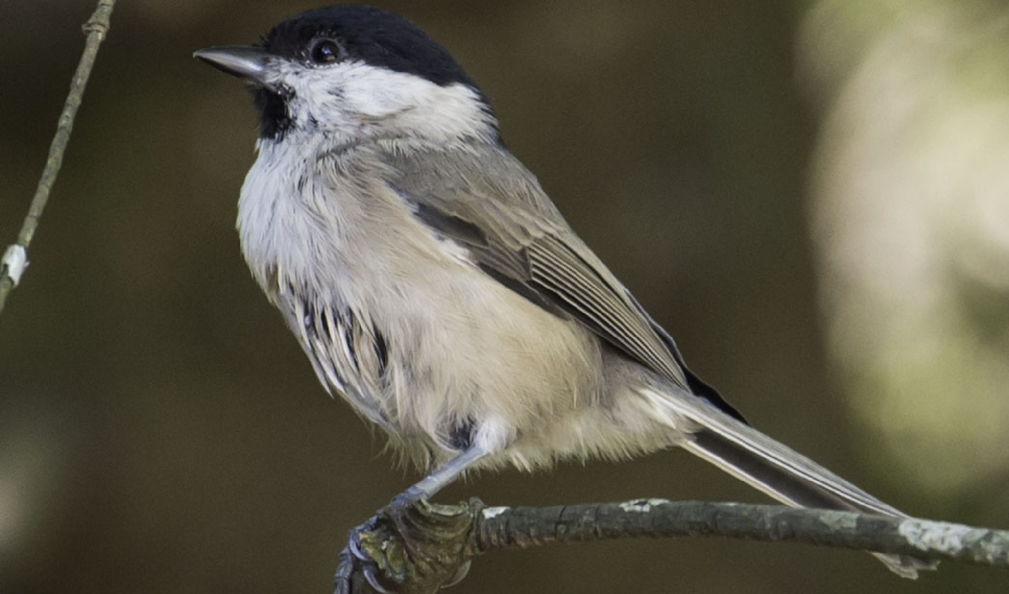 Marsh Tit by ColinM