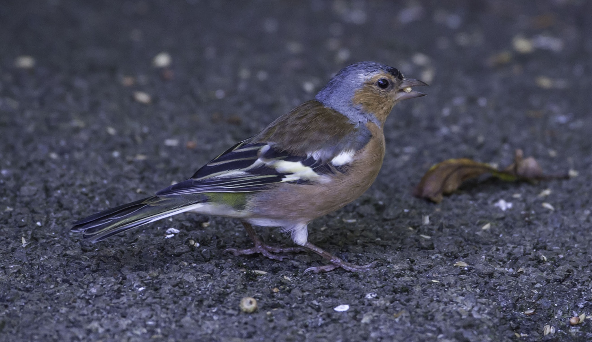 Chaffinch by ColinM