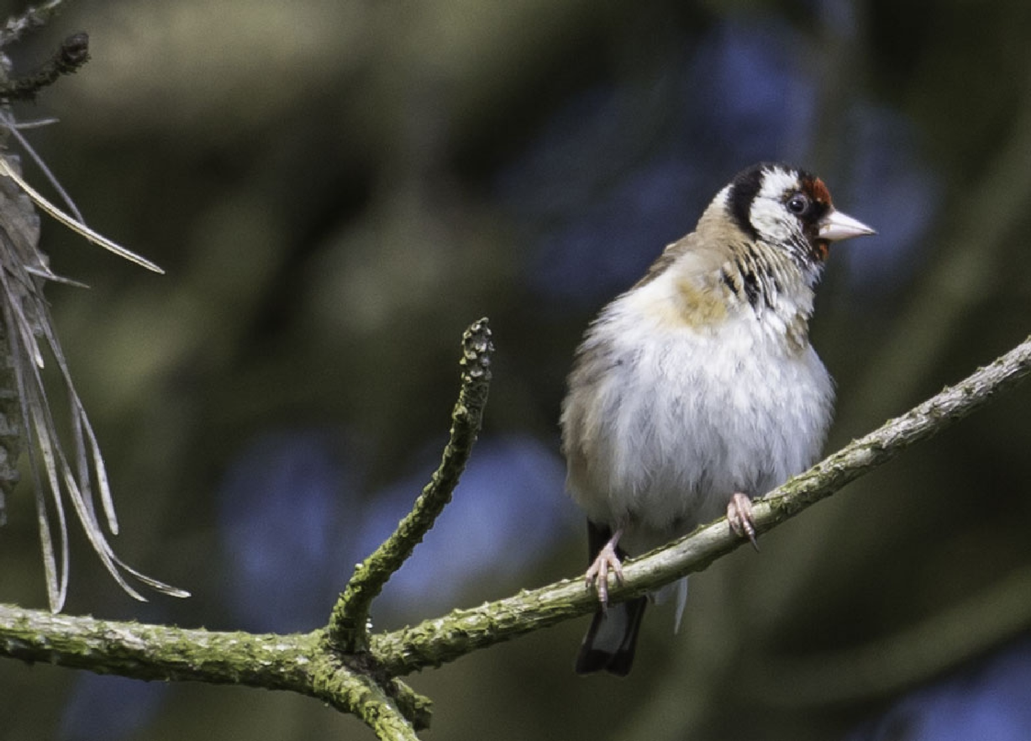 Goldfinch by ColinM