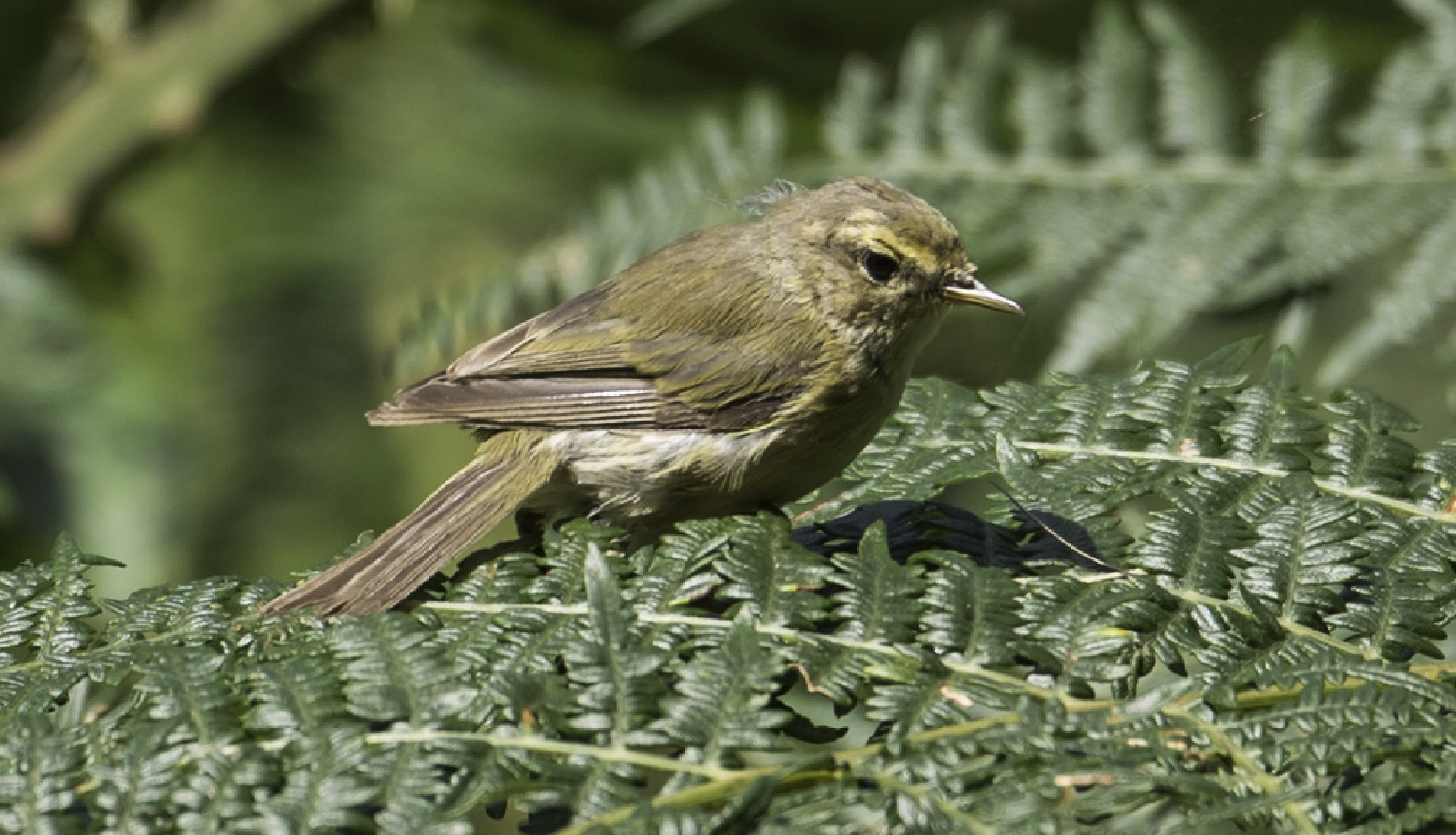 Willow Warbler by ColinM