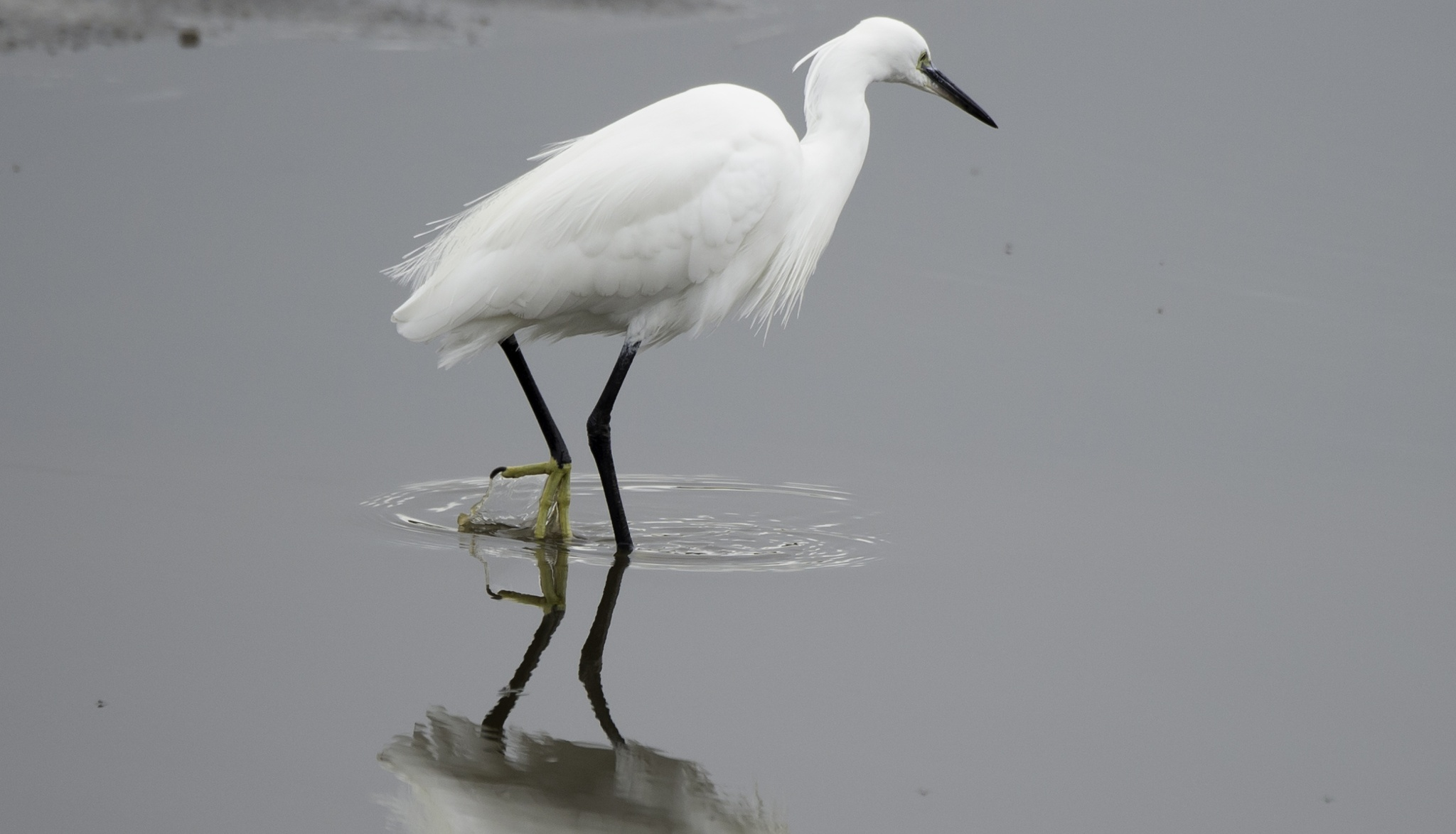 Little Egret by ColinM