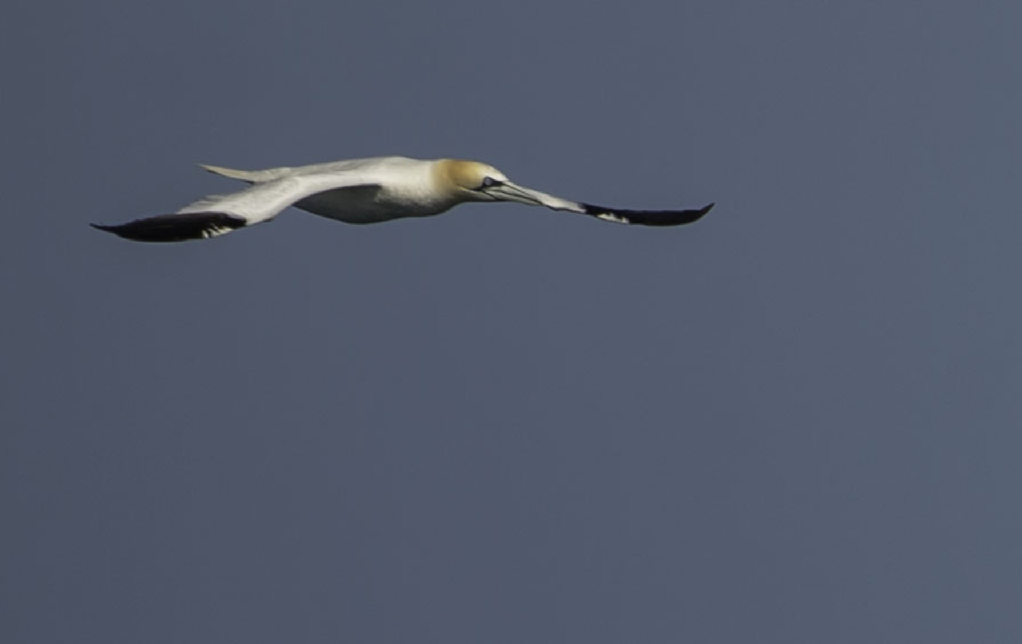 Gannet by ColinM