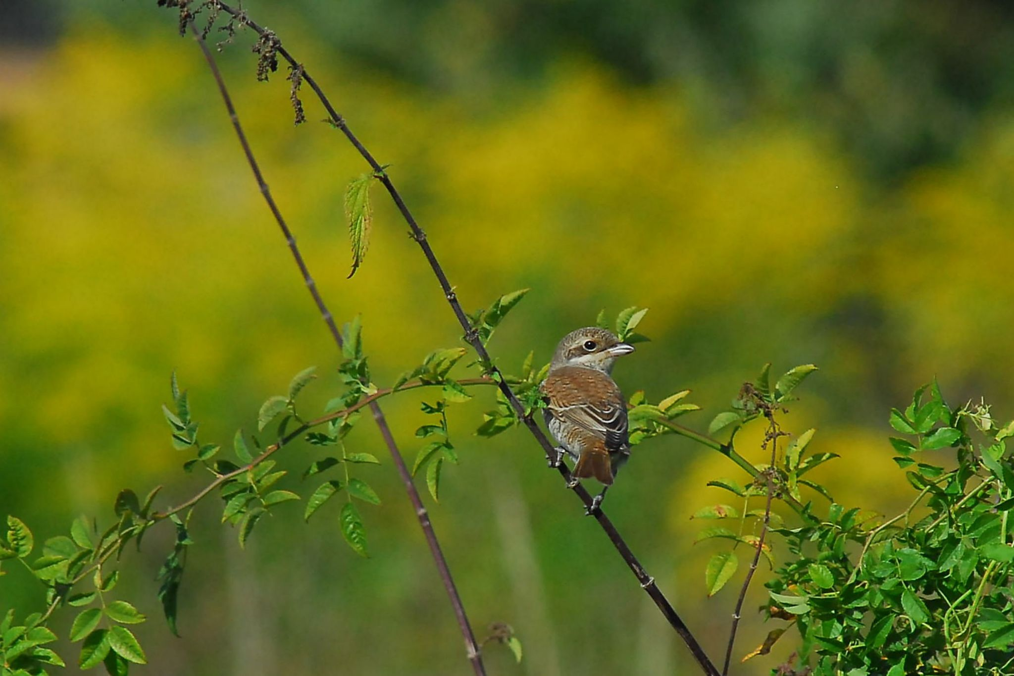 Young red-backed shrike by klangraumberlin
