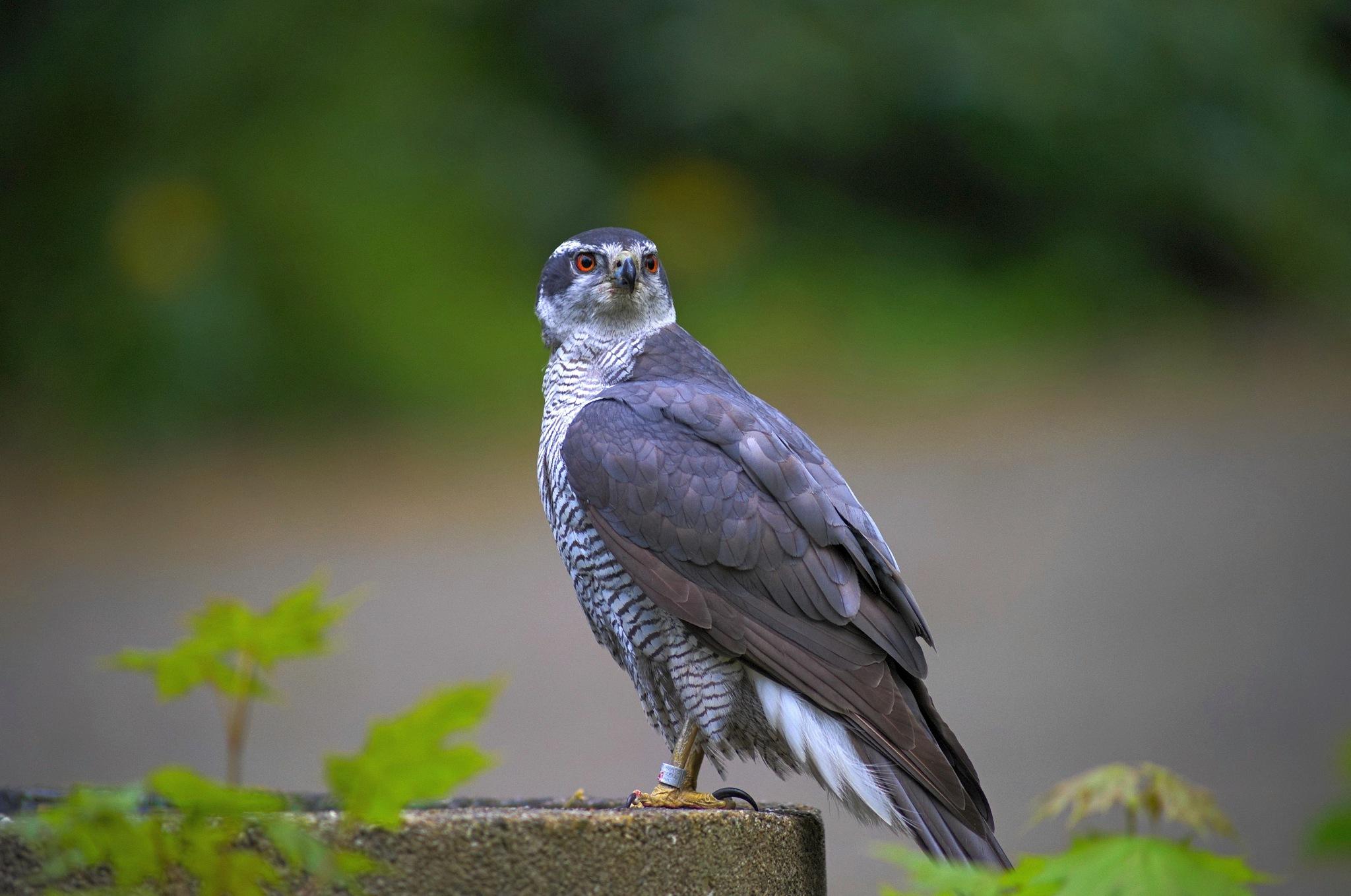 thirsty hawk by klangraumberlin