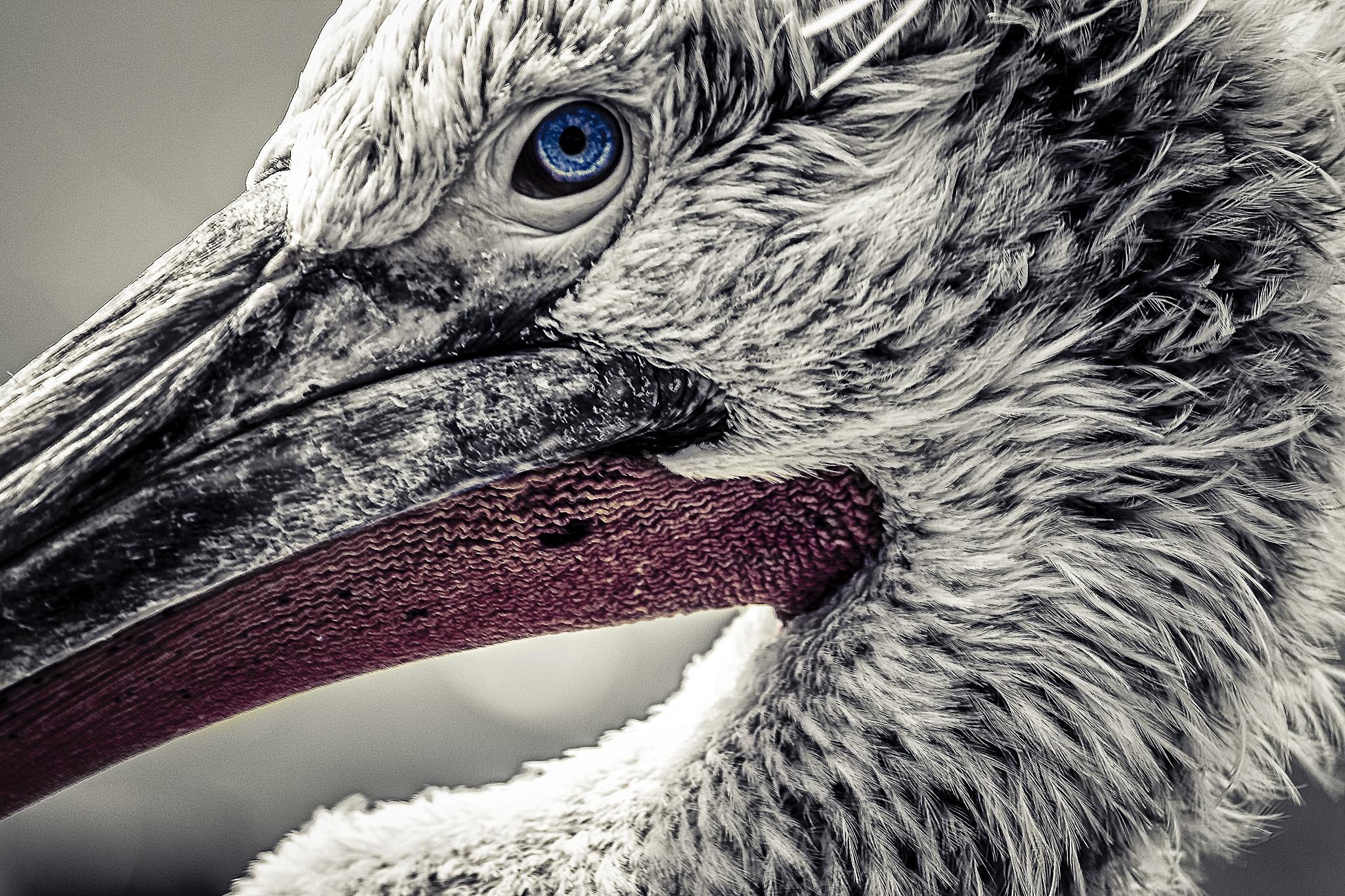 Pelican by Søren Kristiansen