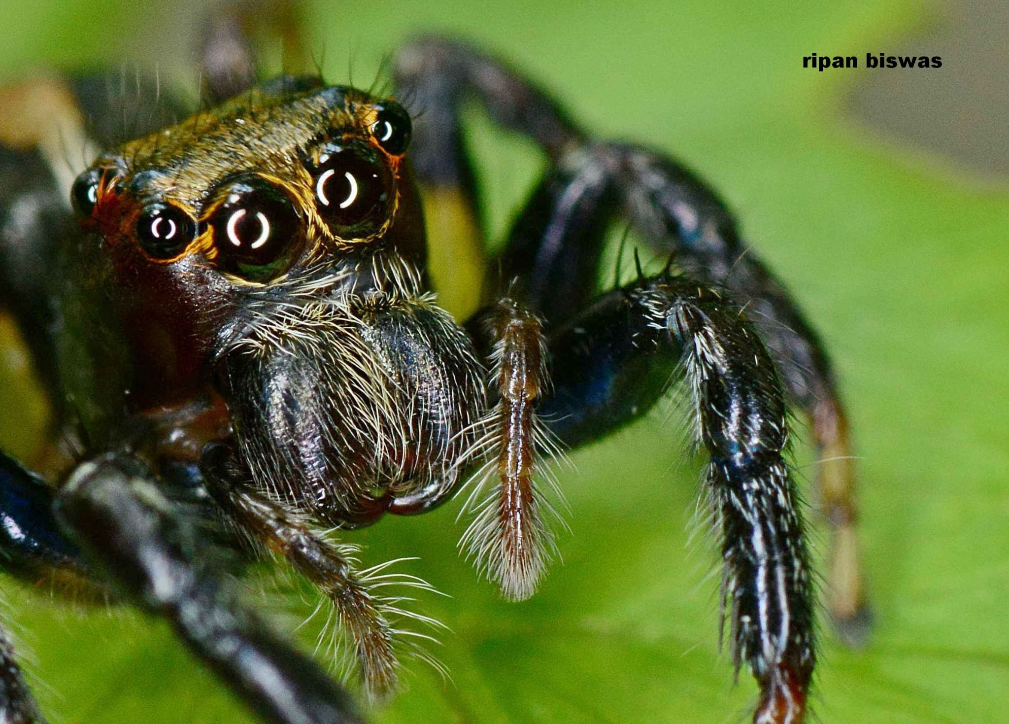 spider by ripanbiswas
