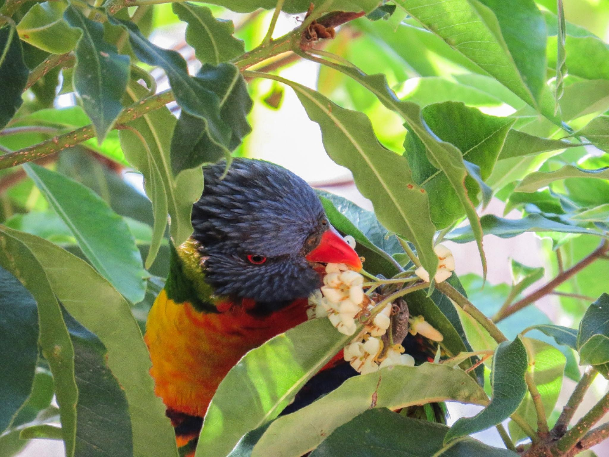 Rainbow Lorikeet nibbles on the blossoms by Jan Taylor