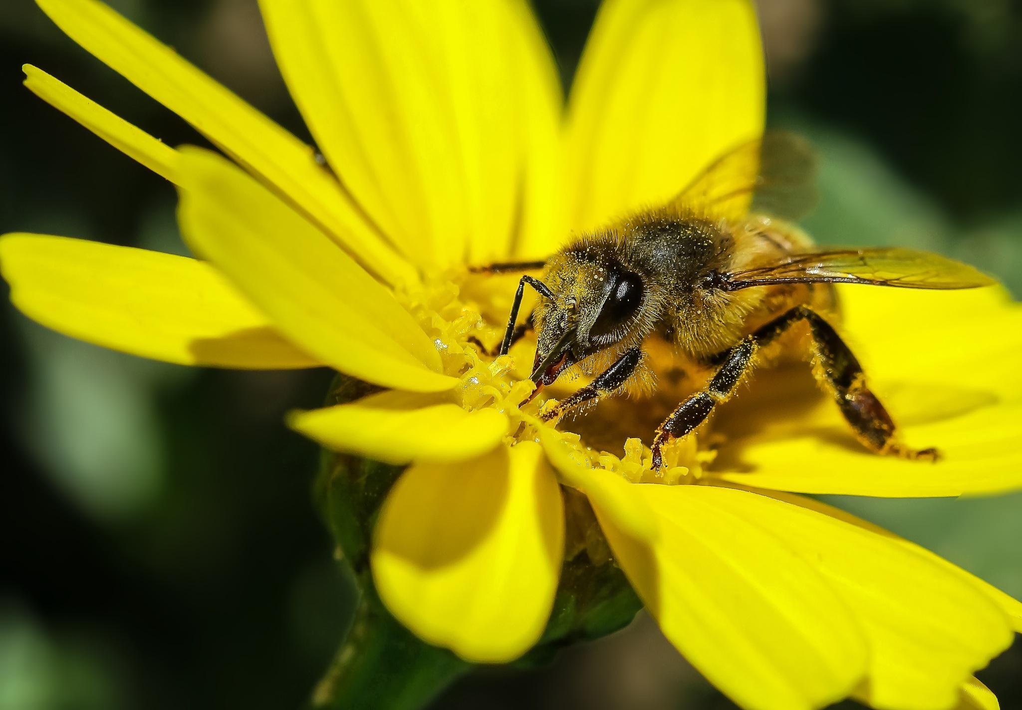 Honey Bee At Work. by Omar AL-NAAS