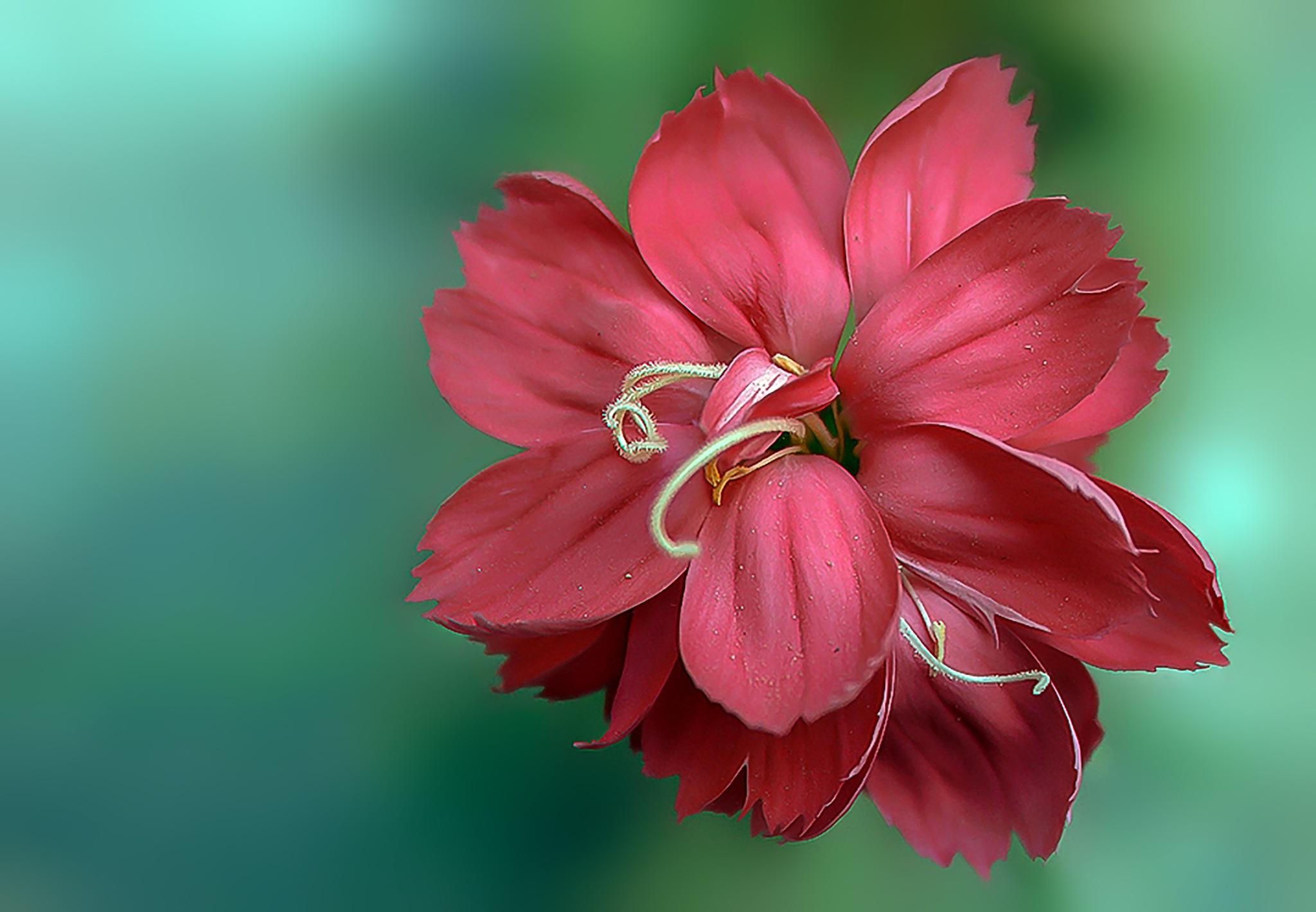 Red Carnation Flower Opening. by Omar AL-NAAS