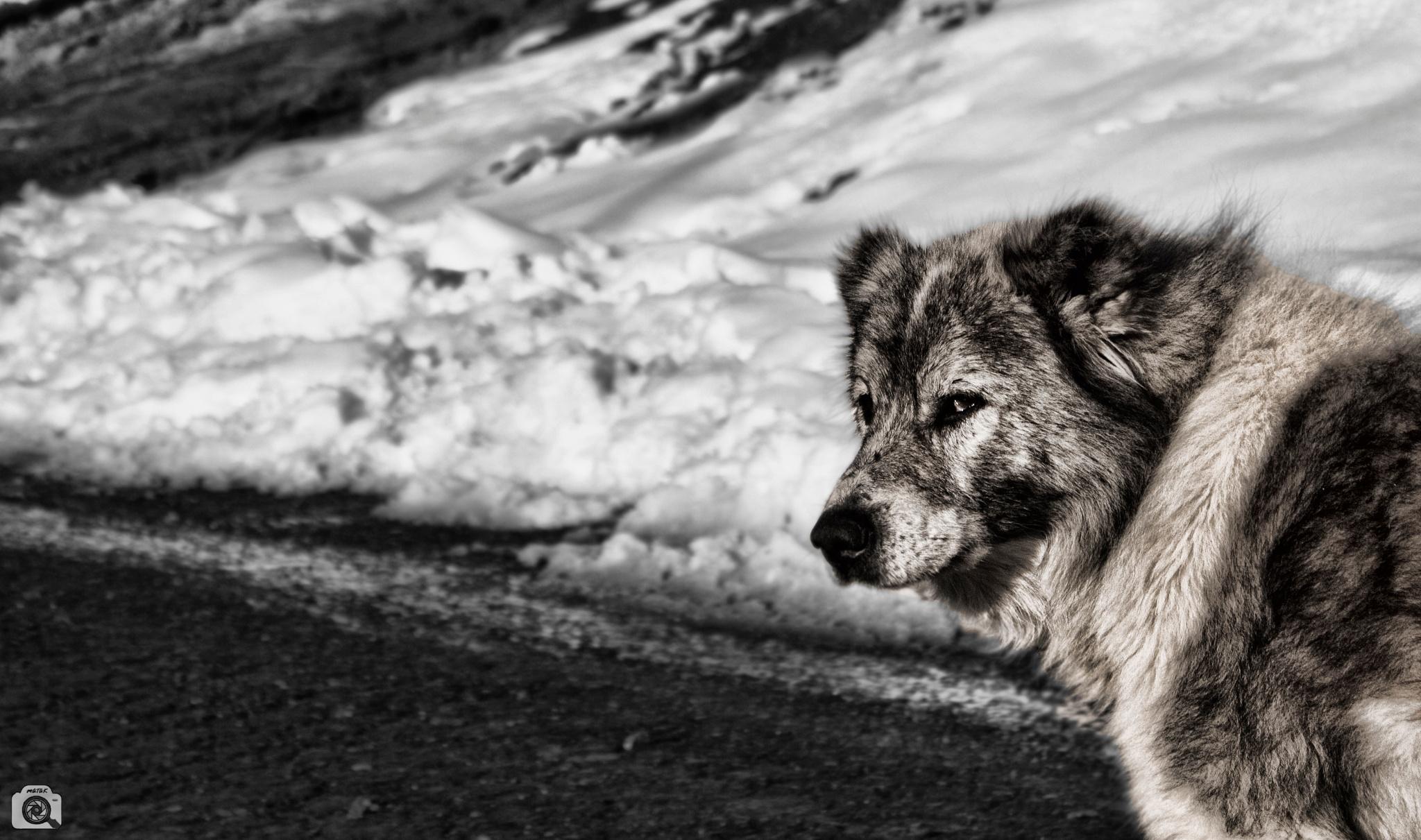 dog... by matak