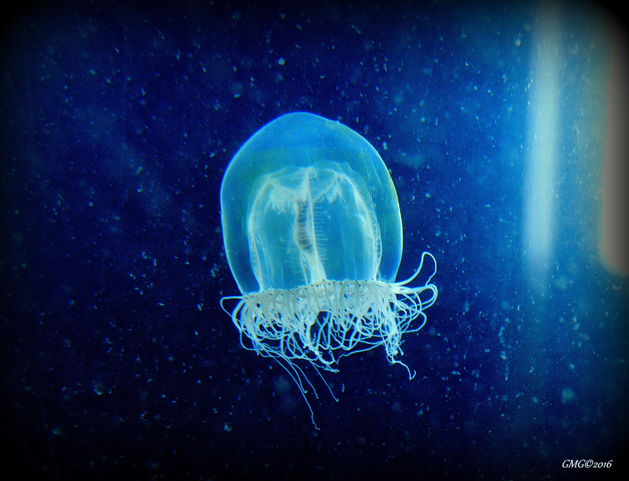 Photo in Animal #canada #bc #vancouverisland #water #jellyfish #ocean #marinelife #sea #invertebrate #animal #nature