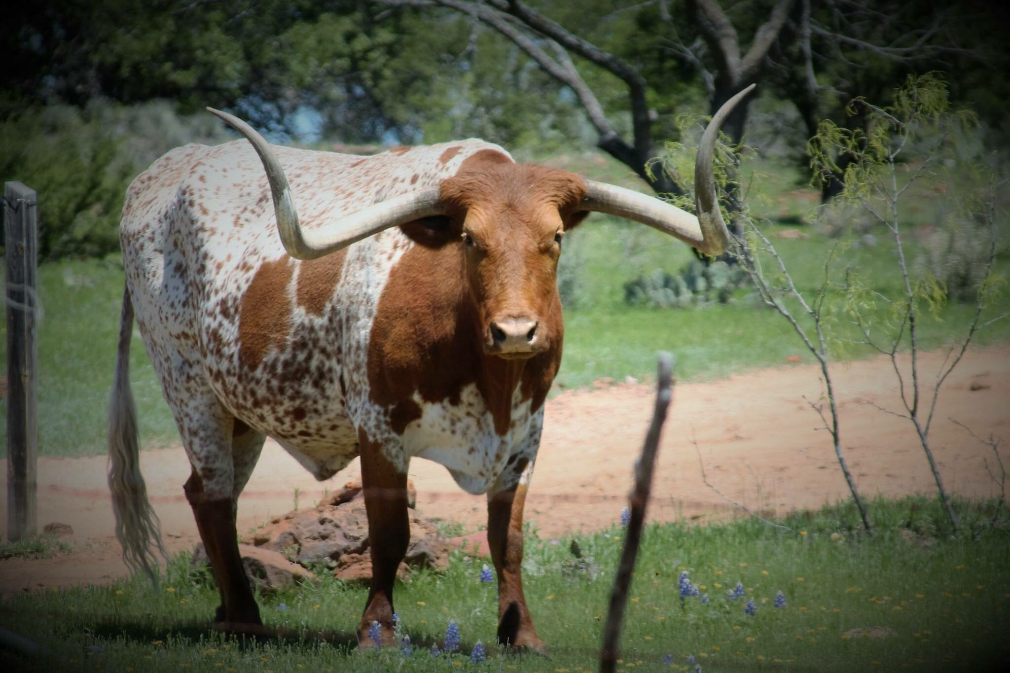 Texas Longhorn  by Jessica Graves