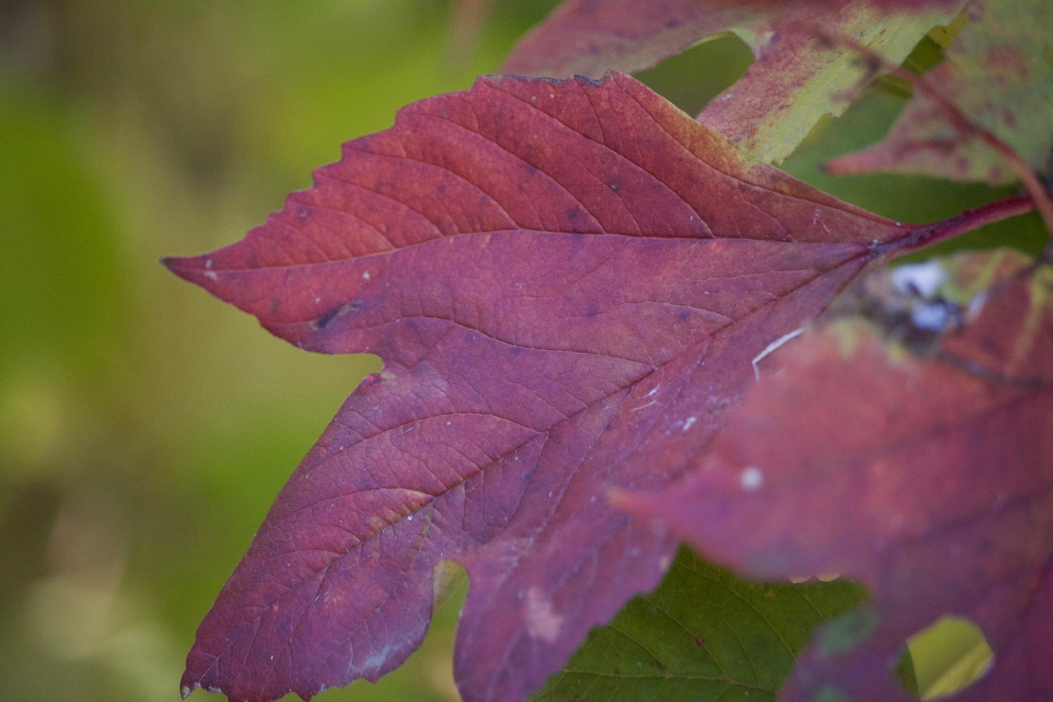 Autumn Red by justshine