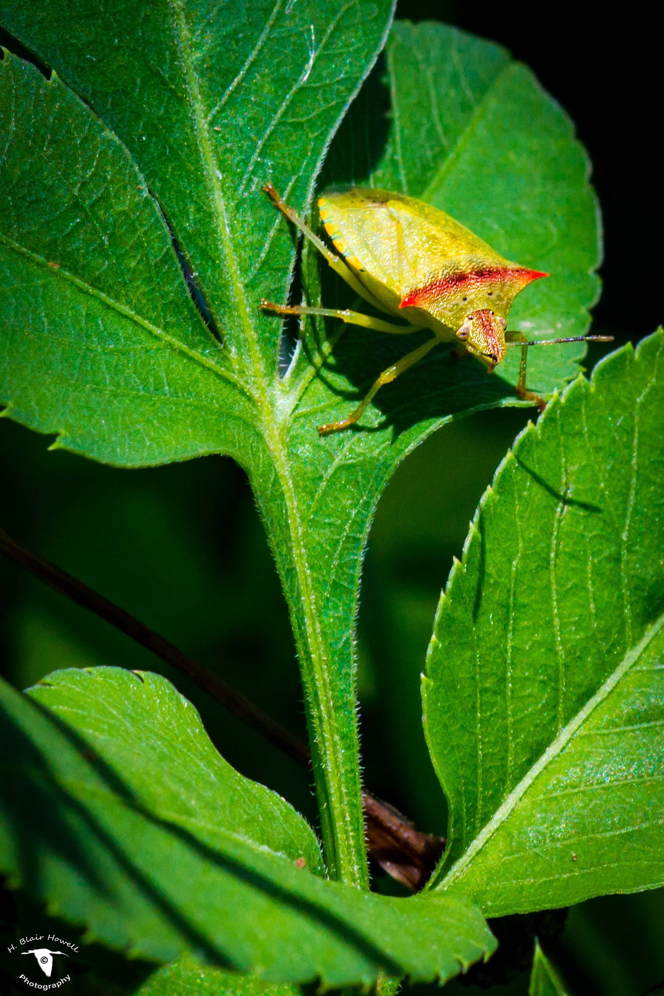 Green Stink Bug by HBlairHowell