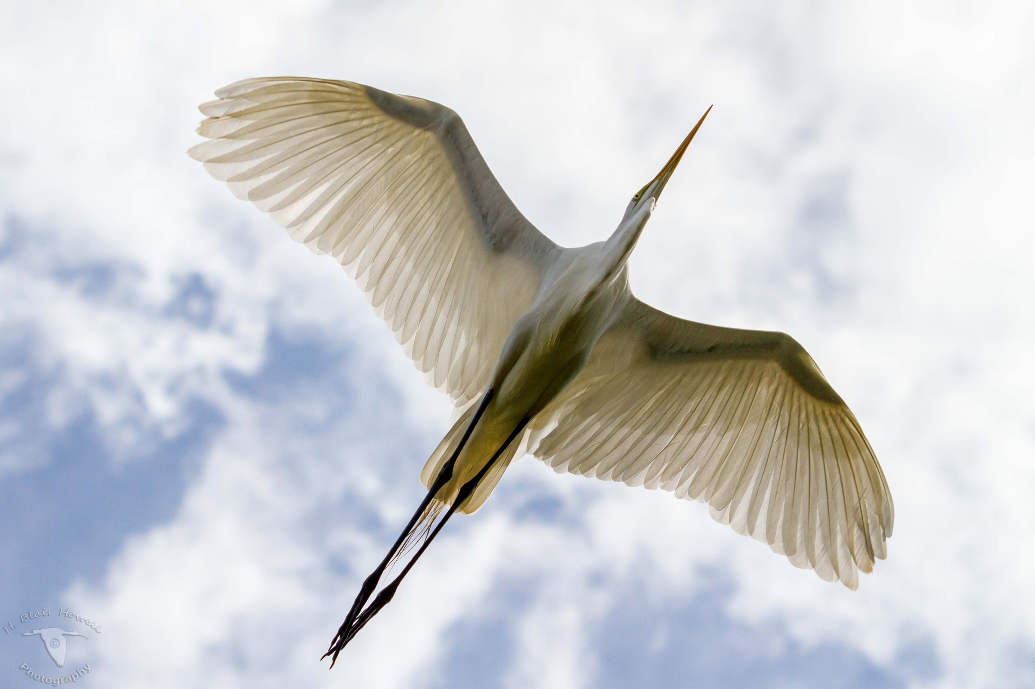 Great Egret (Ardea alba) by HBlairHowell
