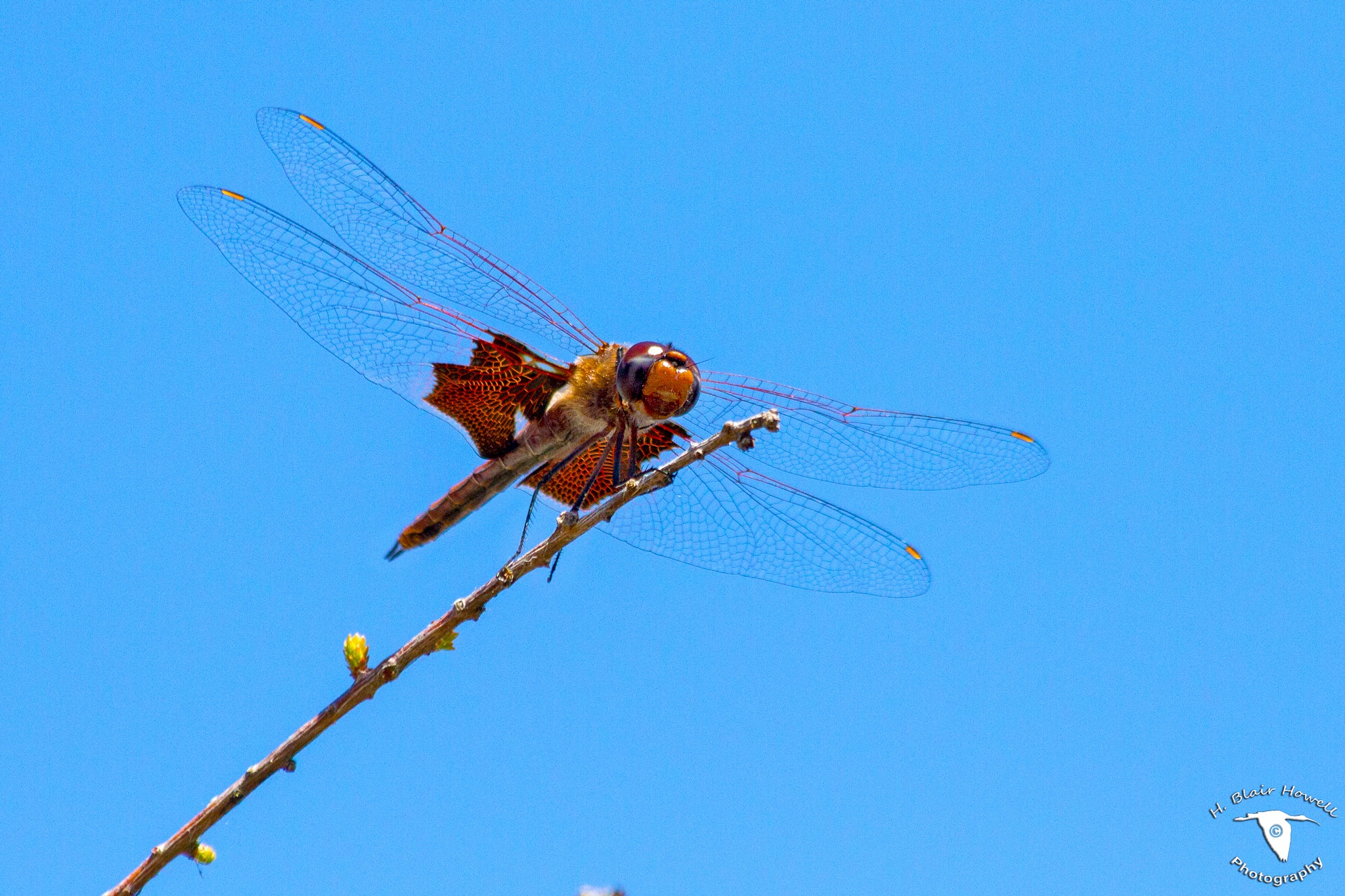 Dragonfly by HBlairHowell