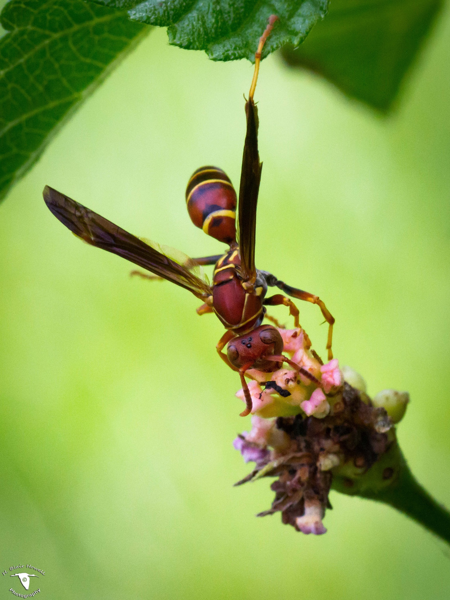 Paper Wasp (Family Polistinae) by HBlairHowell