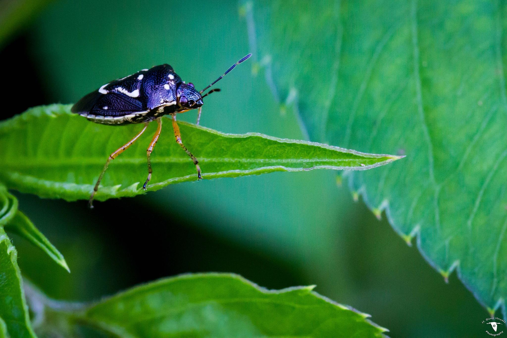 Stink Bug by HBlairHowell