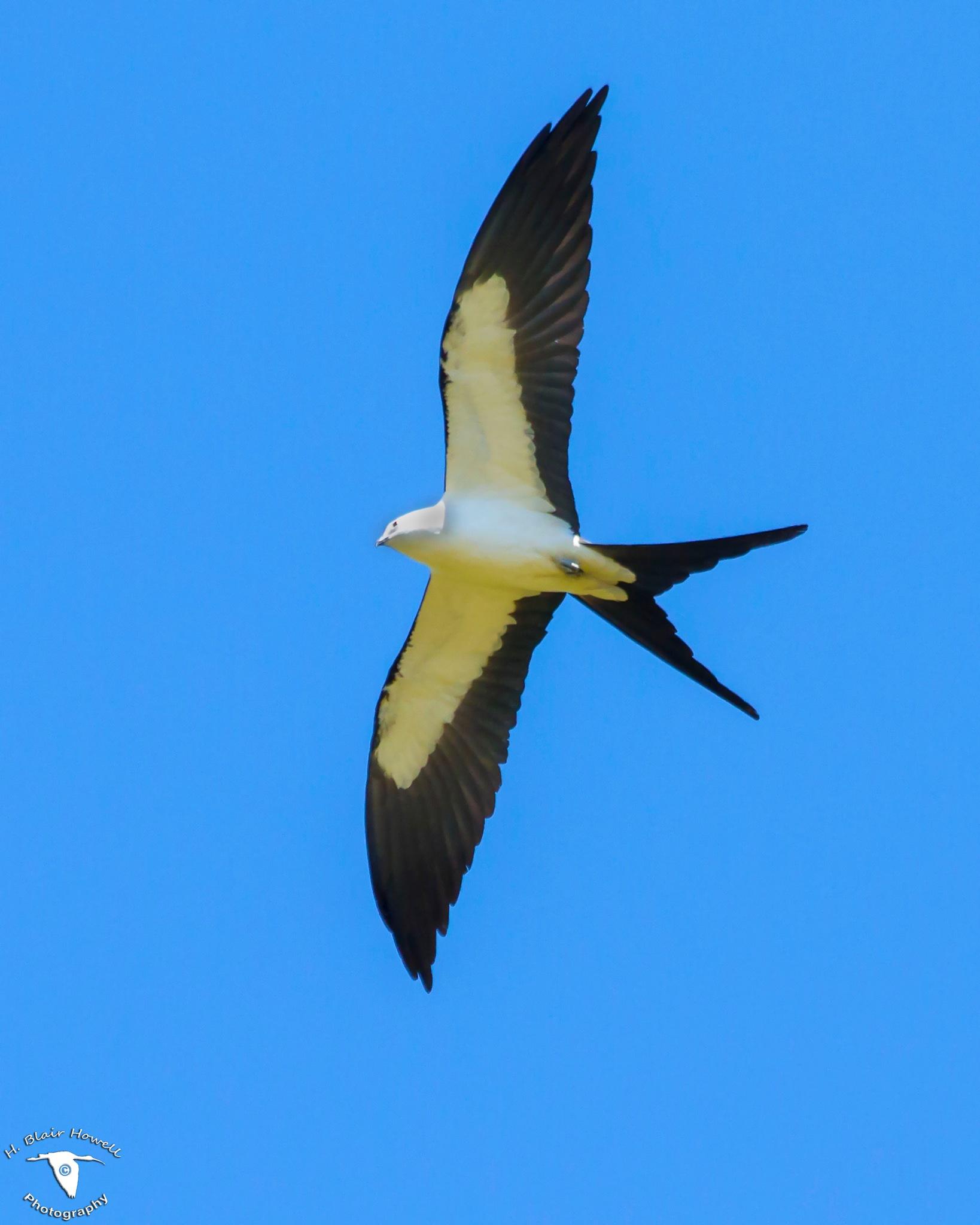 Swallow-Tailed Kite (Elanoides forficatus) by HBlairHowell