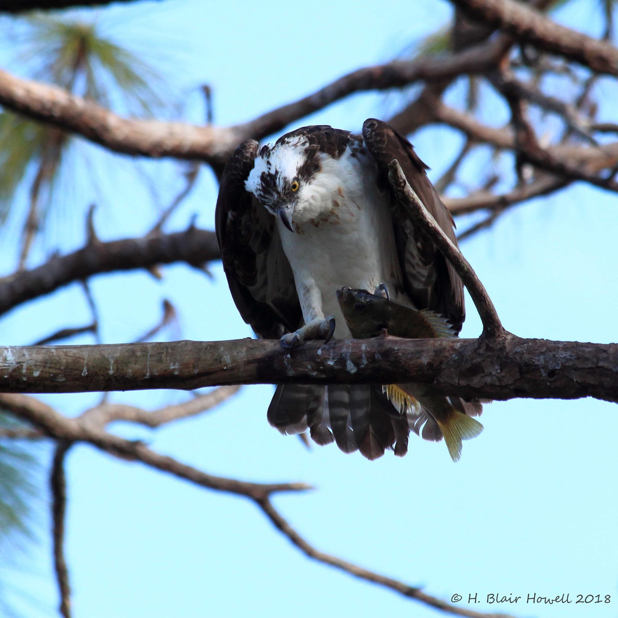 Western Osprey (Pandion haliaetus) by HBlairHowell
