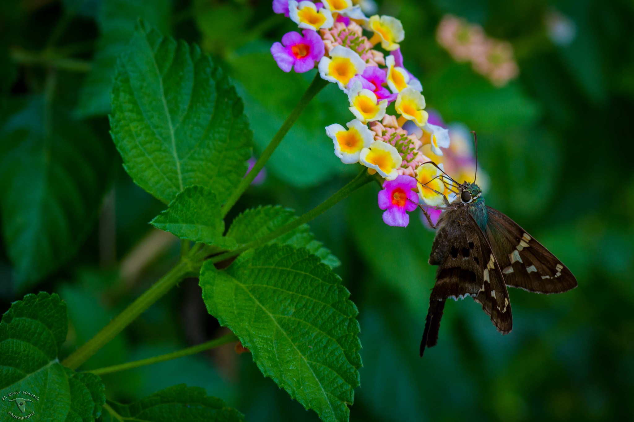 Long Tailed Skipper Butterfly on Lantana by HBlairHowell