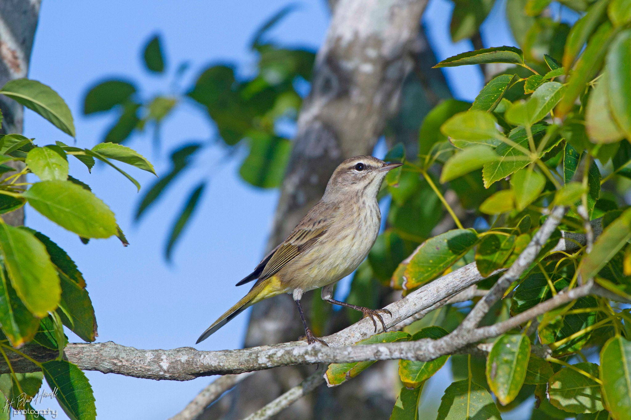 Palm Warbler by HBlairHowell
